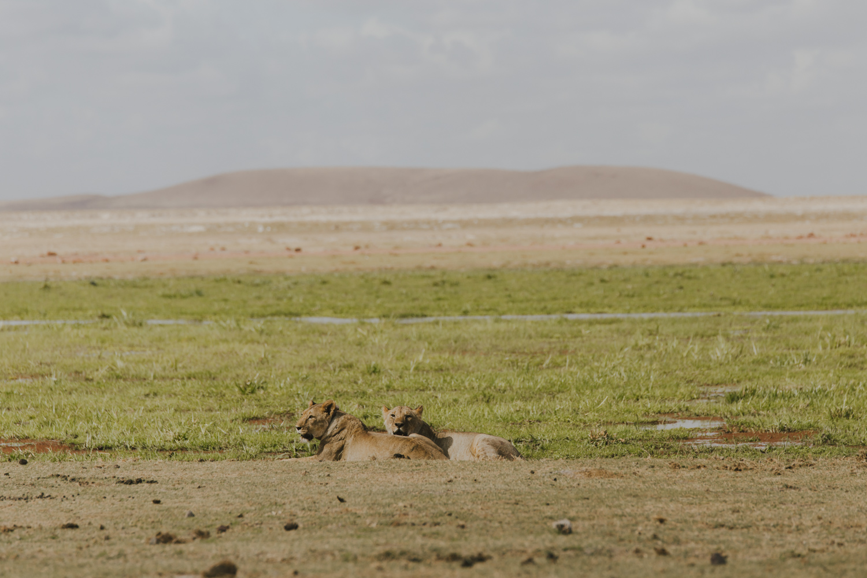 Kenya safari diary: Lions in Amboseli National Park
