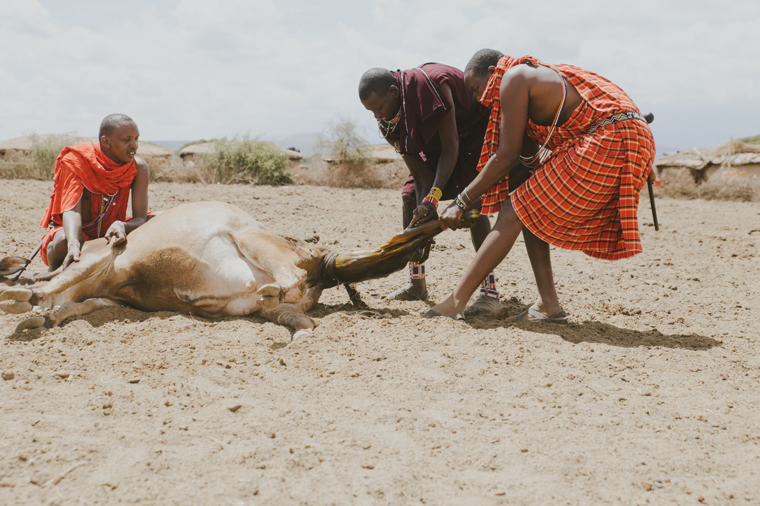 Birth of calf in Masai Village - Photography by Jenny Wu