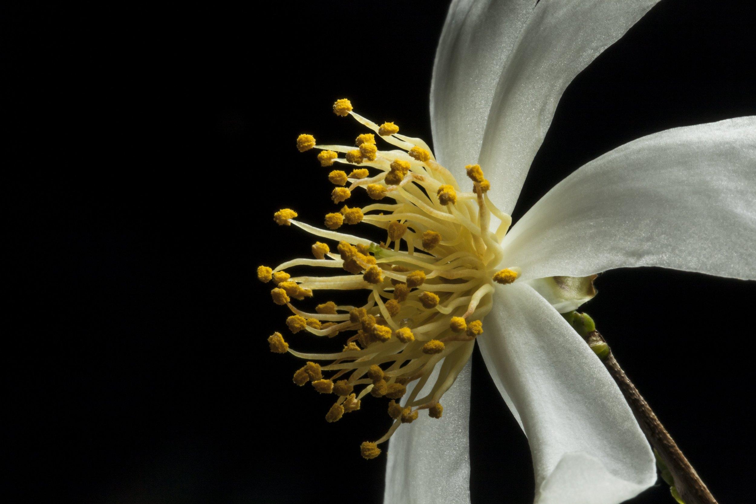 Camellia virgata I