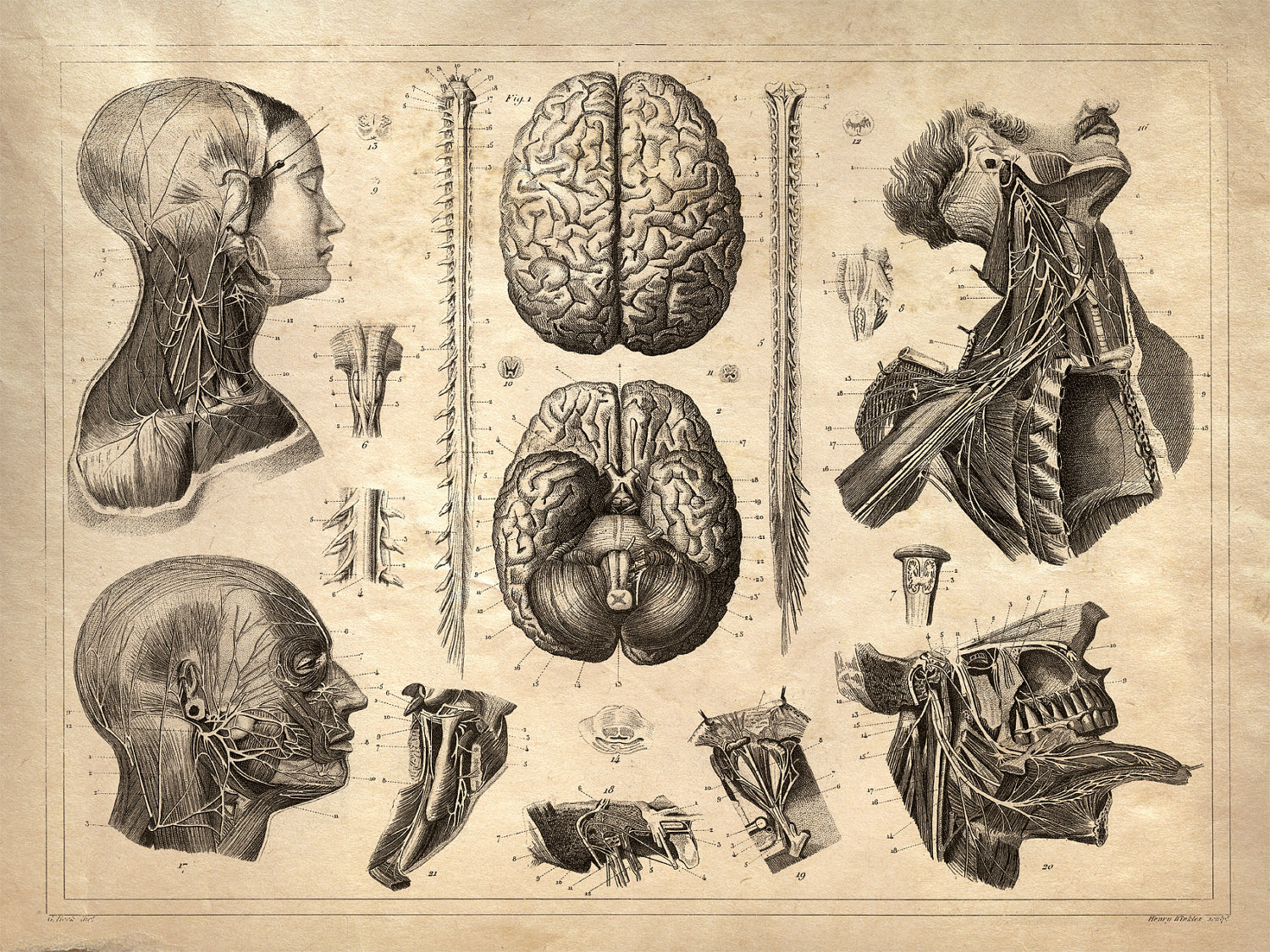 Old-Anatomy-Drawings-Head-Dissection.jpg