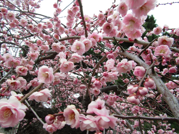 Plum blossom at Nijō