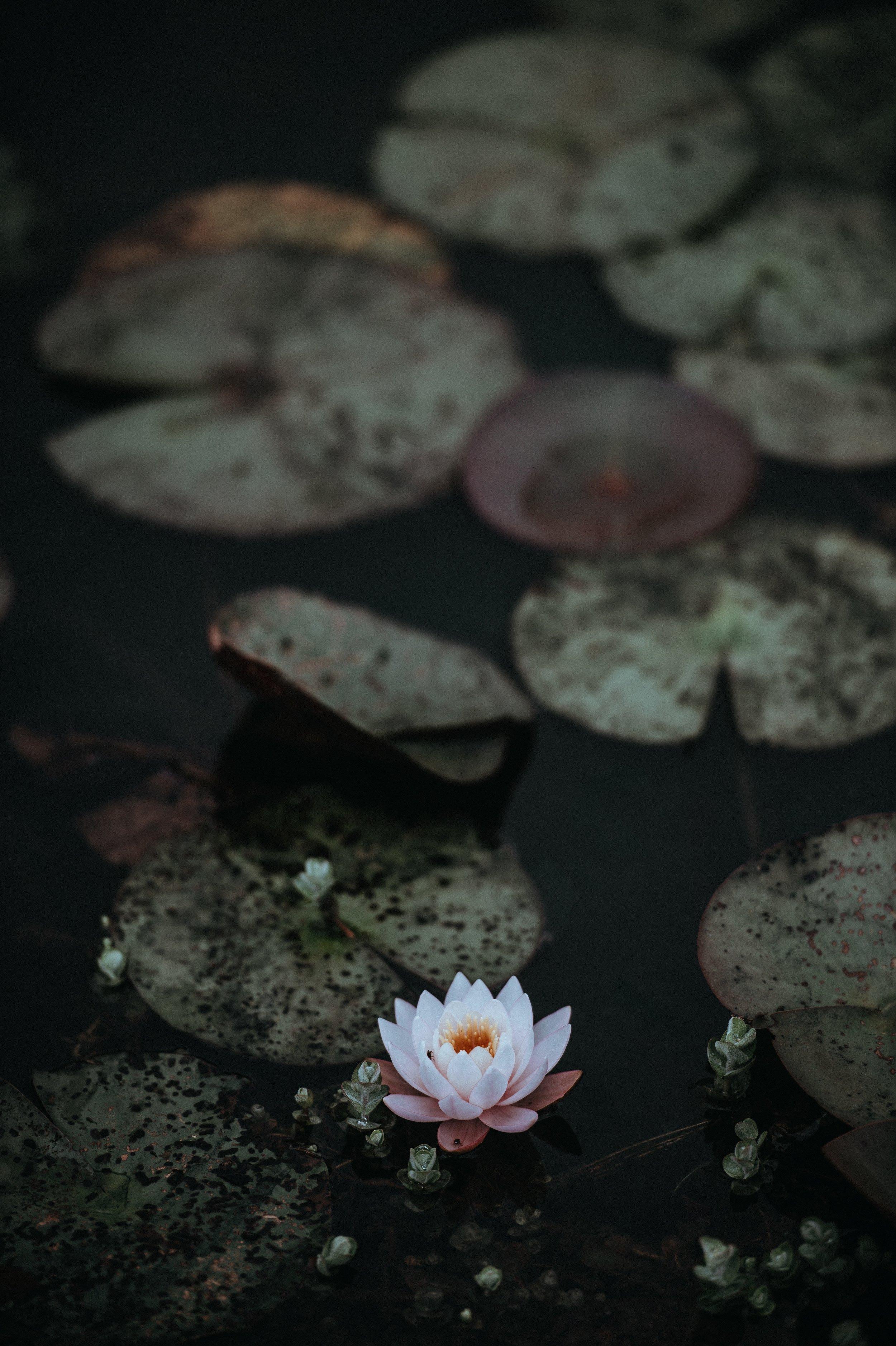 seerose-entspannung-yoga-flow-muenster-purefreude.png.jpg