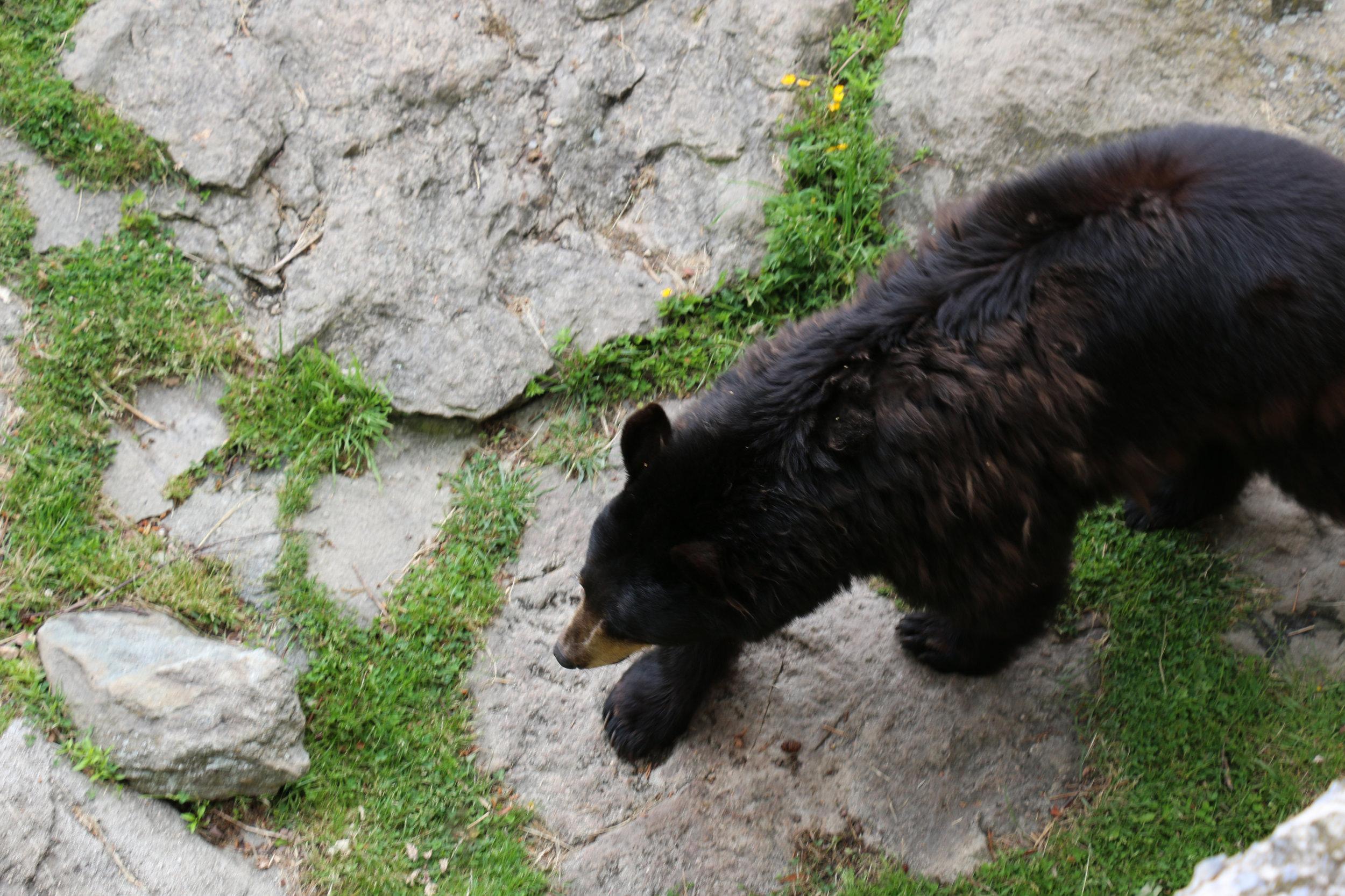 grandfather-mountain-wildlife-habitat-bear