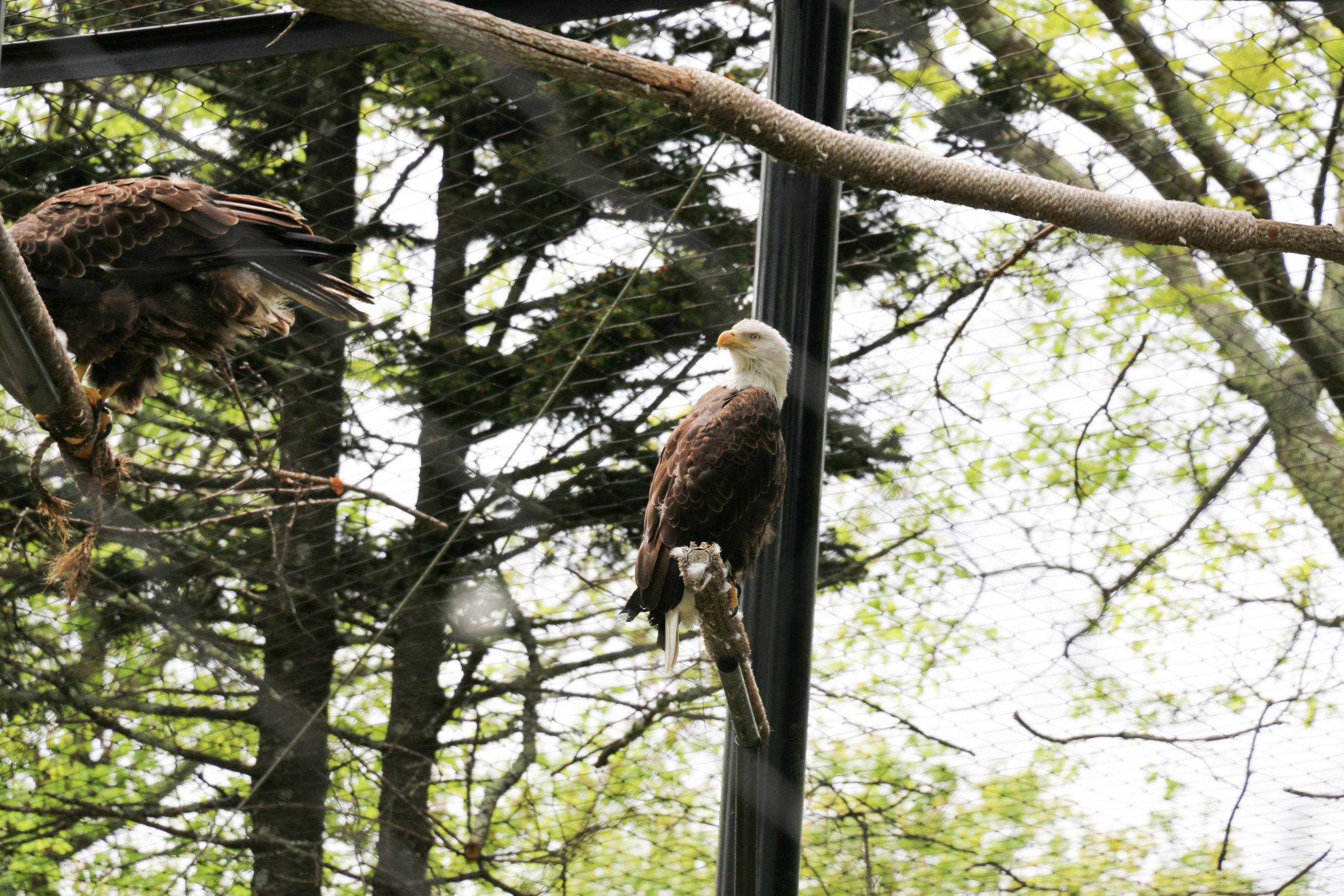 grandfather-mountain-wildlife-habitat-eagle