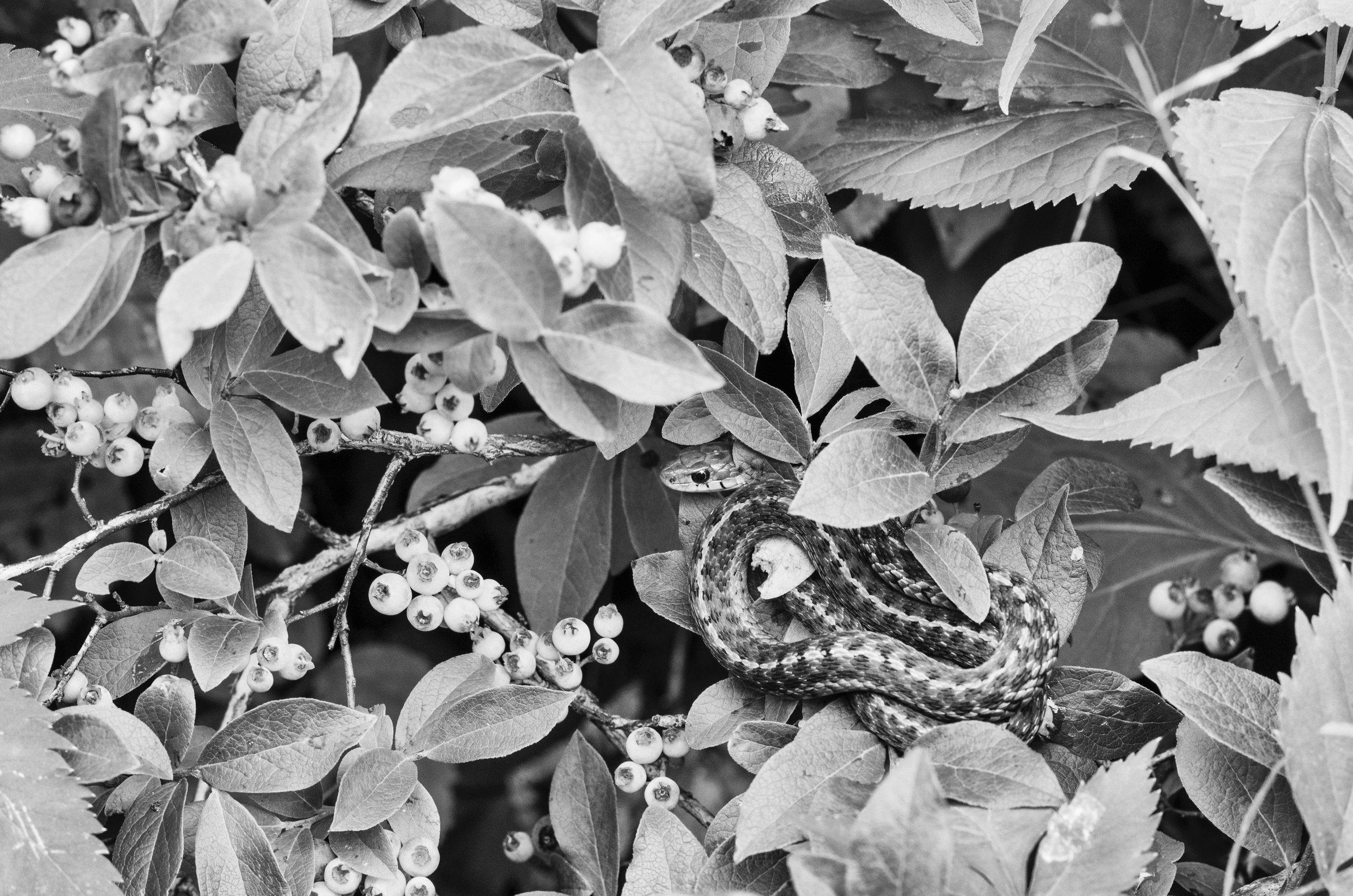 Garter Snake Hiding in Blueberries