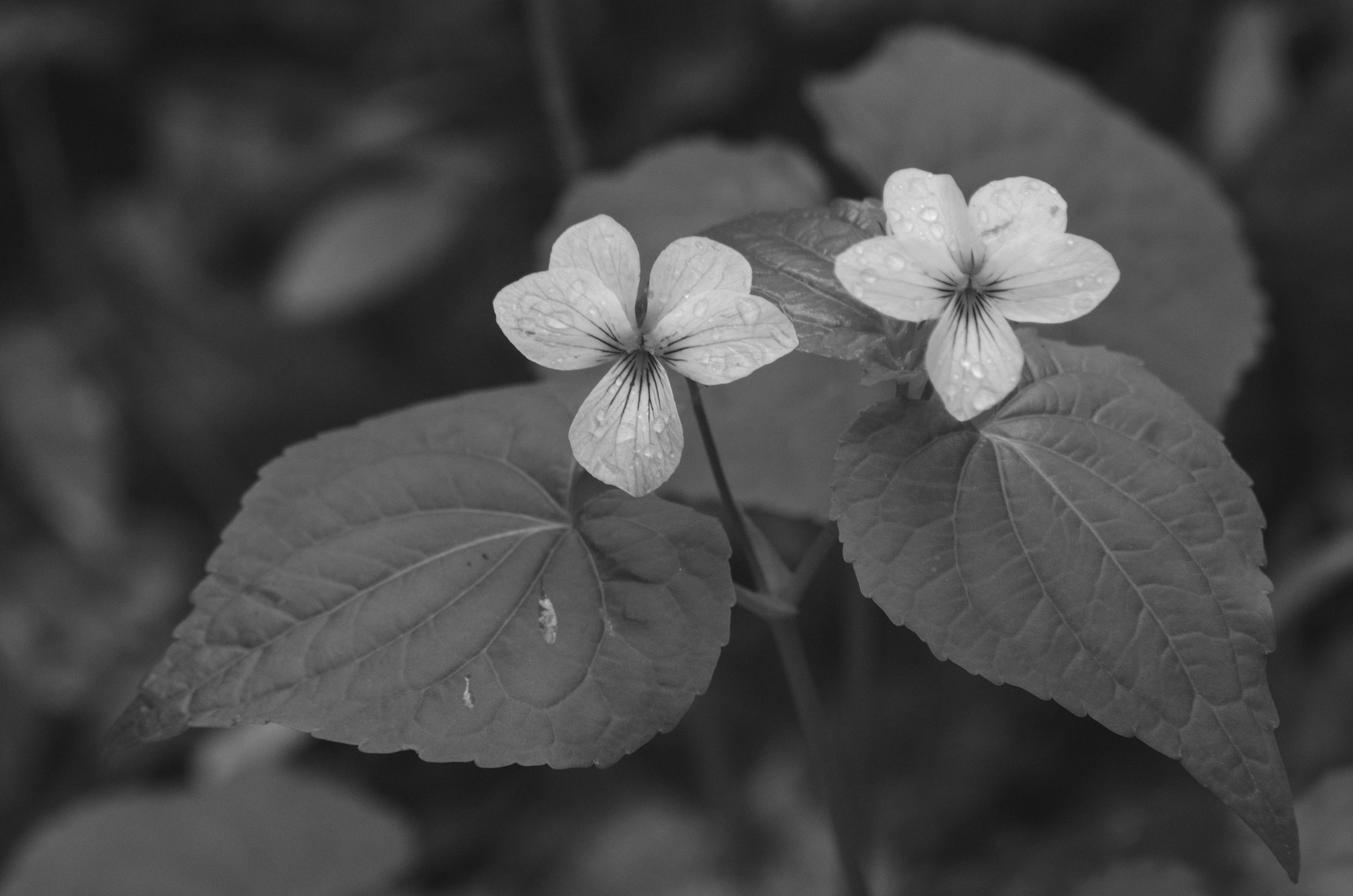 Wild White Violets, Blue Ridge Mountains, North Carolina