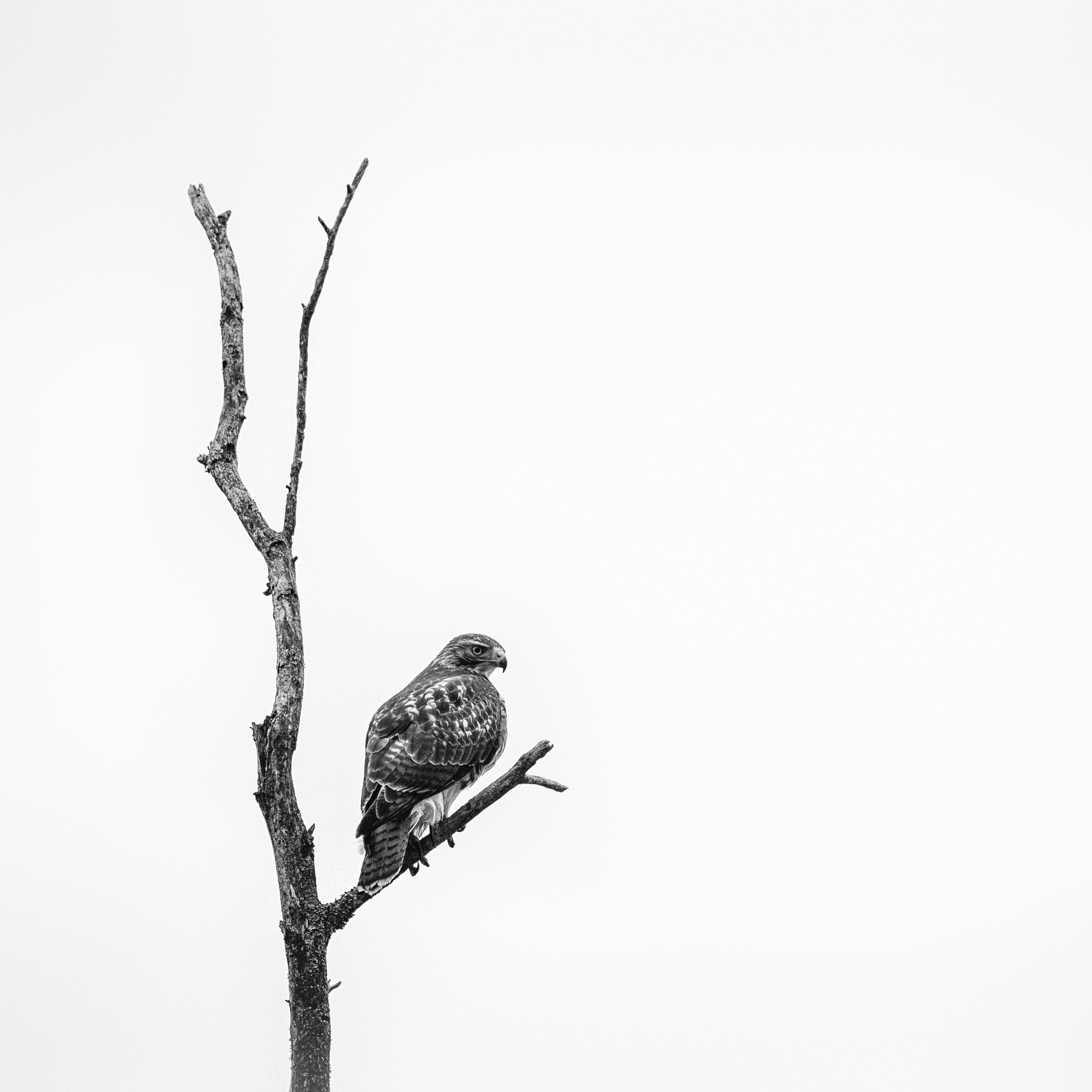 Hawk in Winter Locust