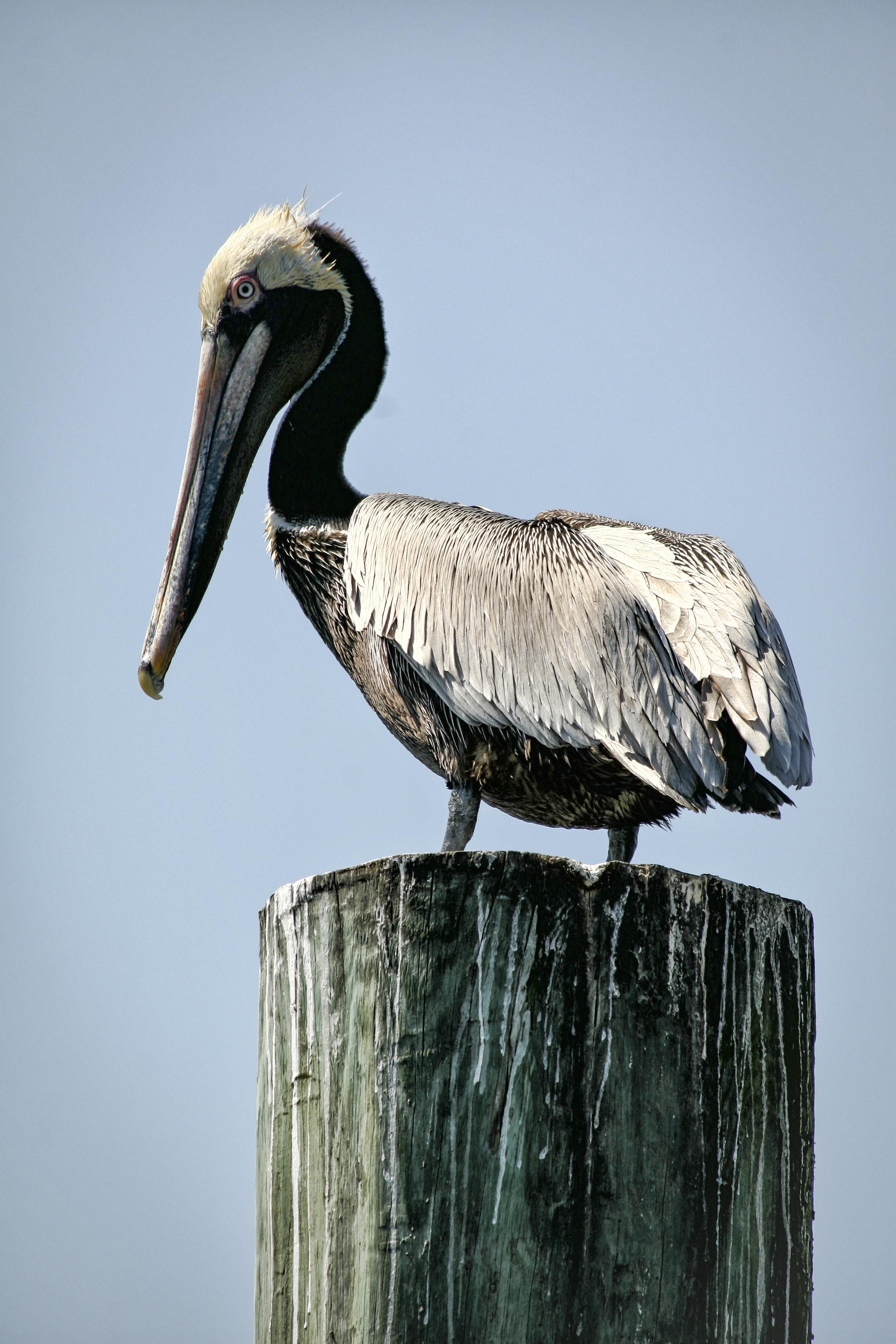 Pelican Portrait, Outer Banks
