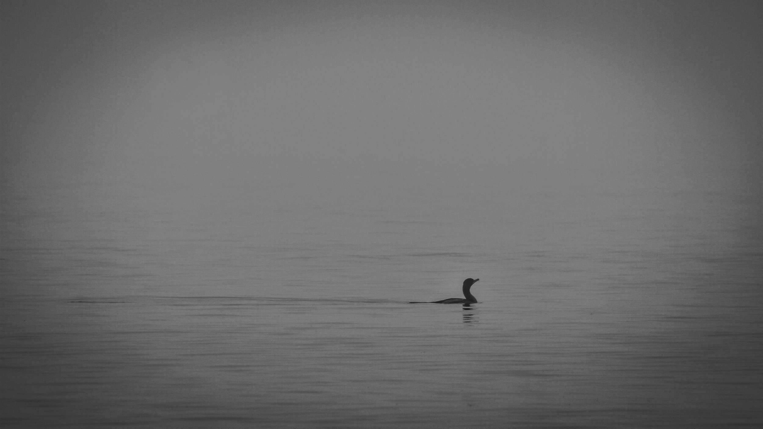 Cormorant in mist, Seal Cove