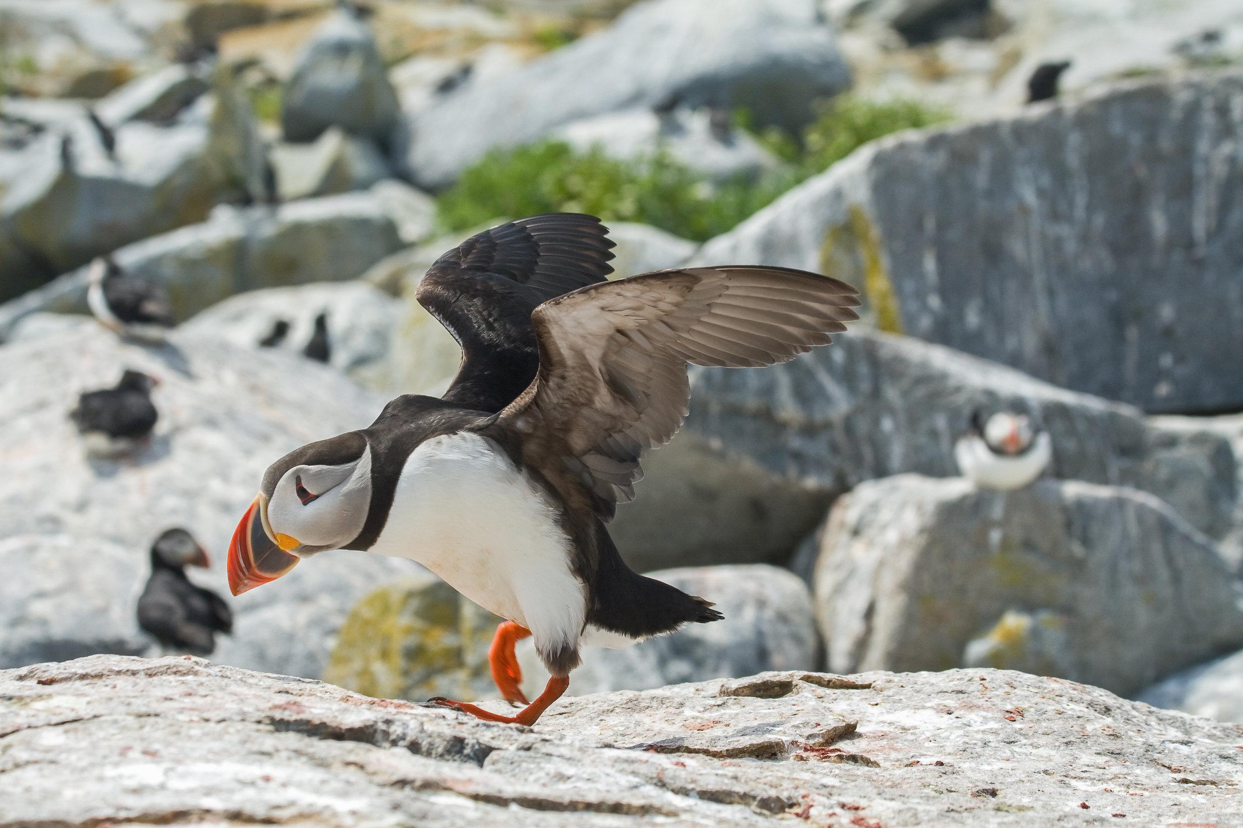 Atlantic Puffins, Machias Seal Island