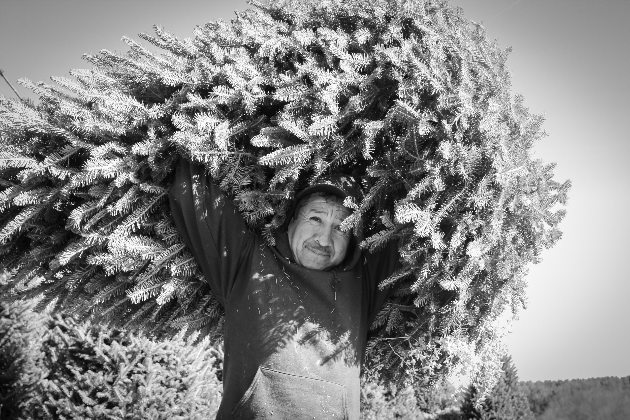 Migrant worker carrying Fraser Fir (Christmas Tree) on a farm in the rural Blue Ridge Mountains, North Carolina.