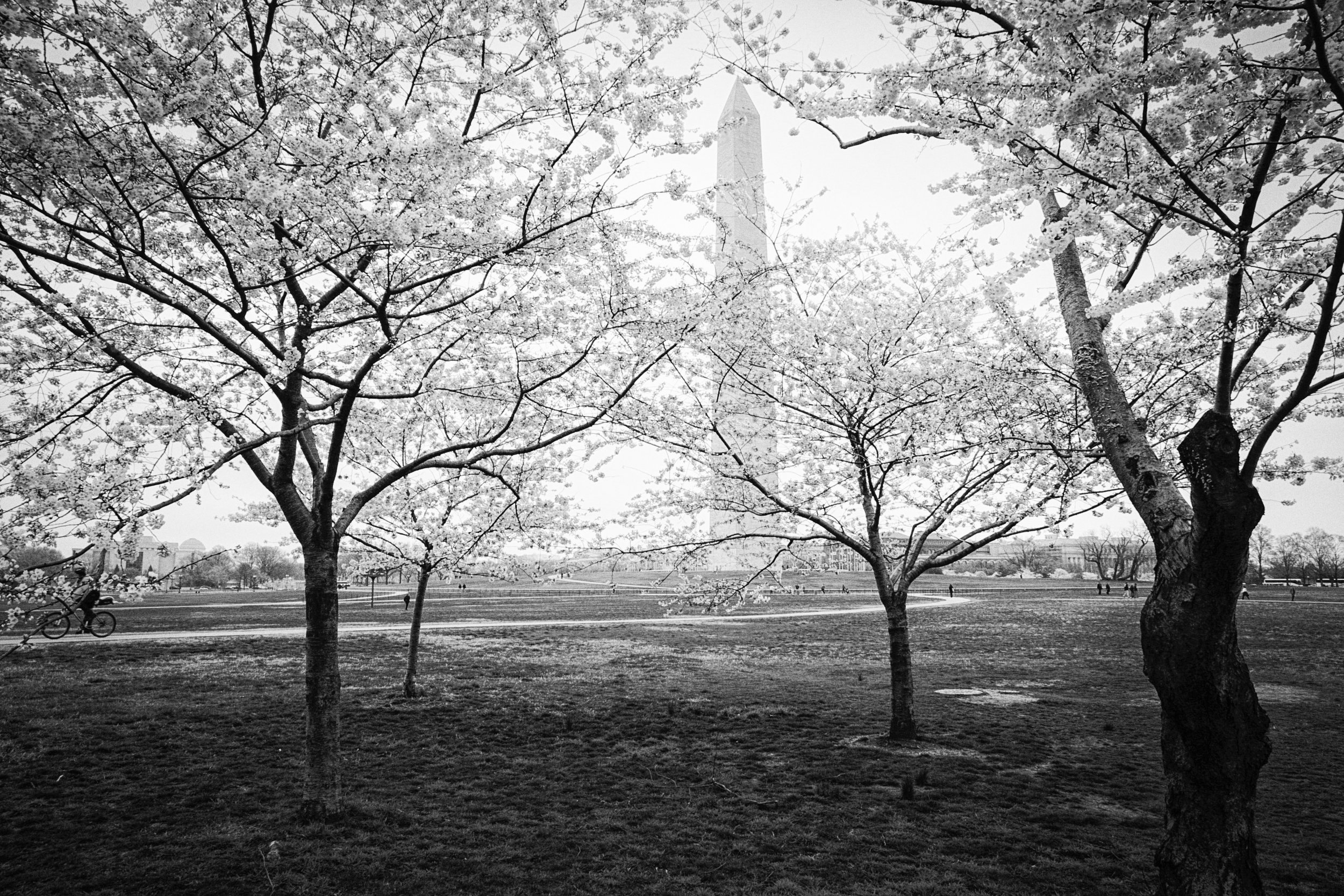 Cherry Blossoms and Washington Monument, Washington, DC