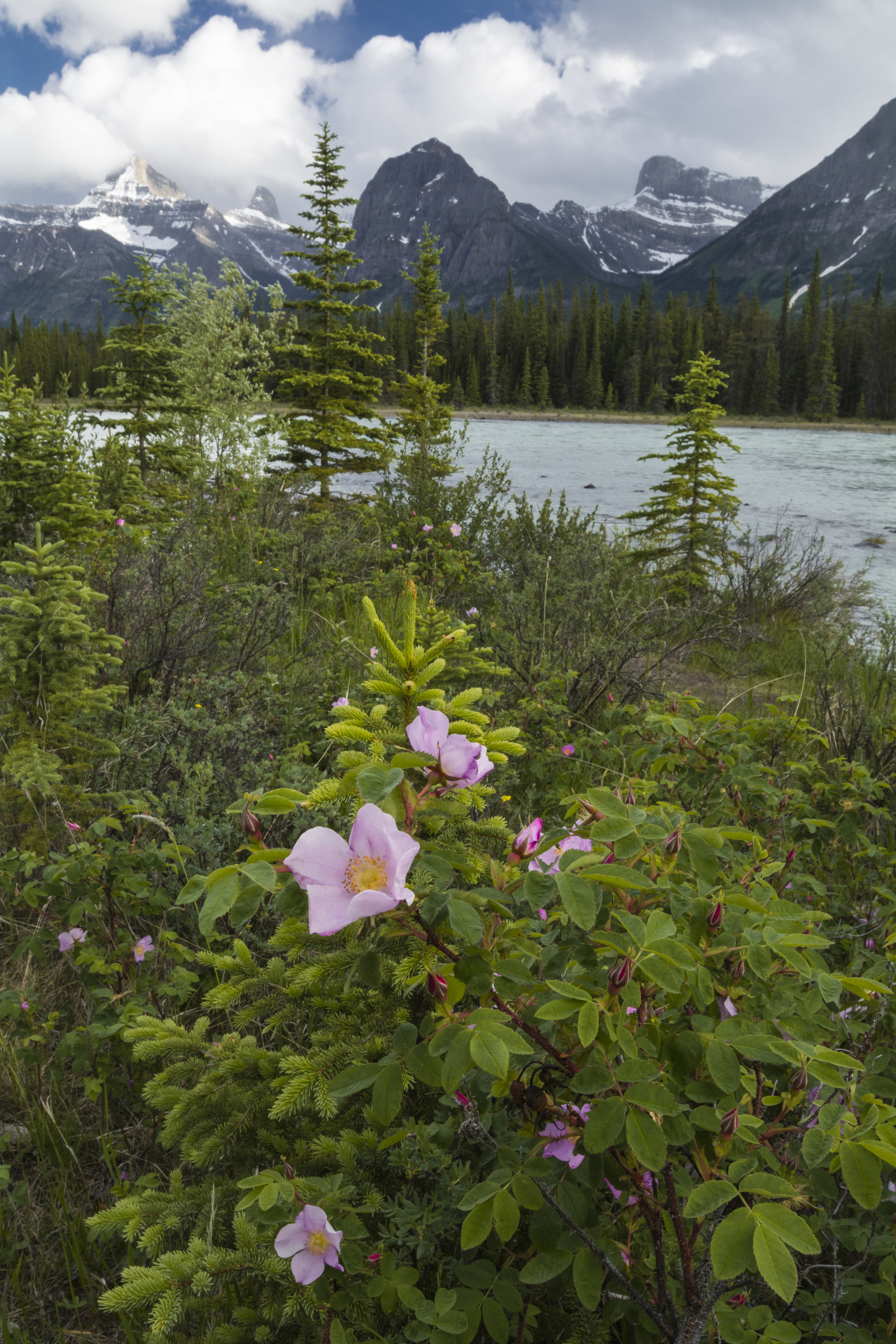 Wild Roses, Jasper National Park, Alberta, Canada