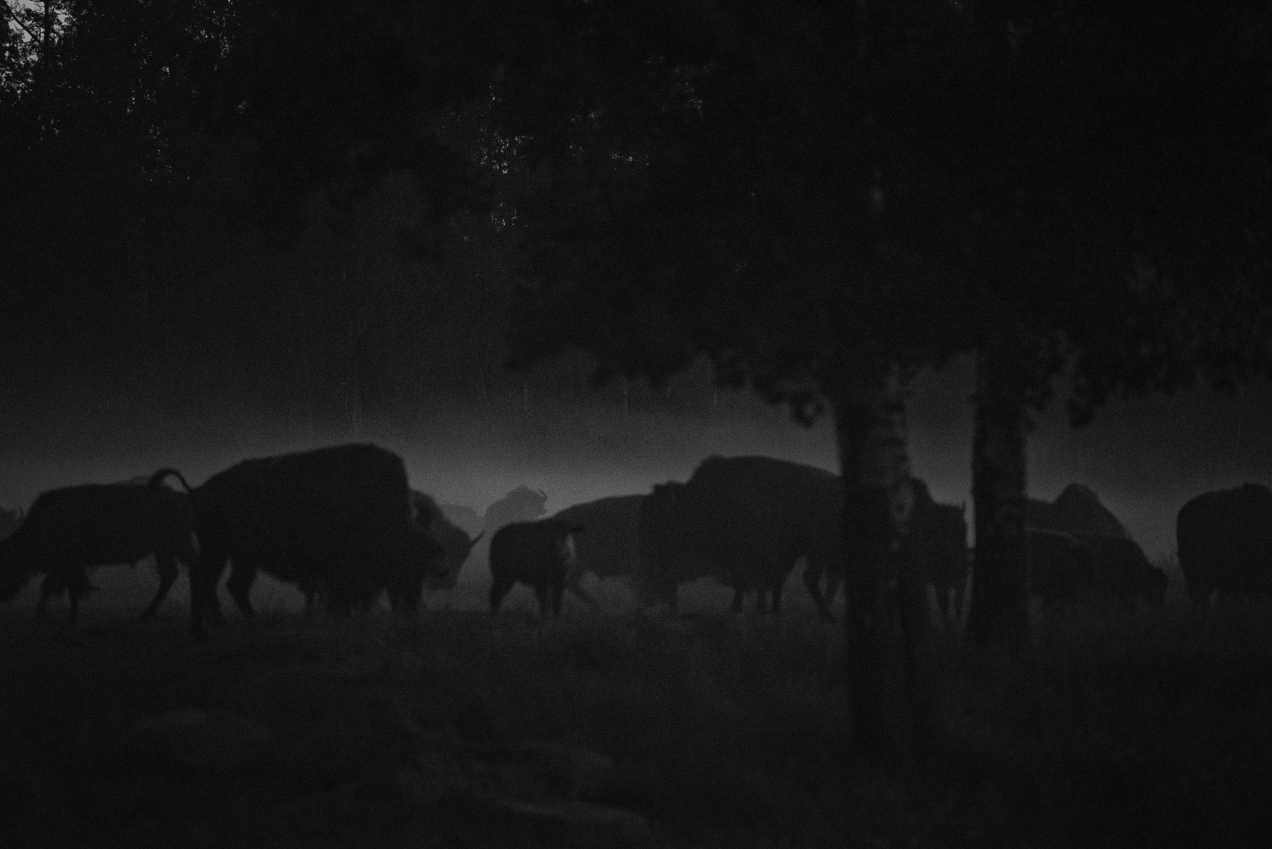 Bison in the Dark North Woods, Elk Island National Park, Canada