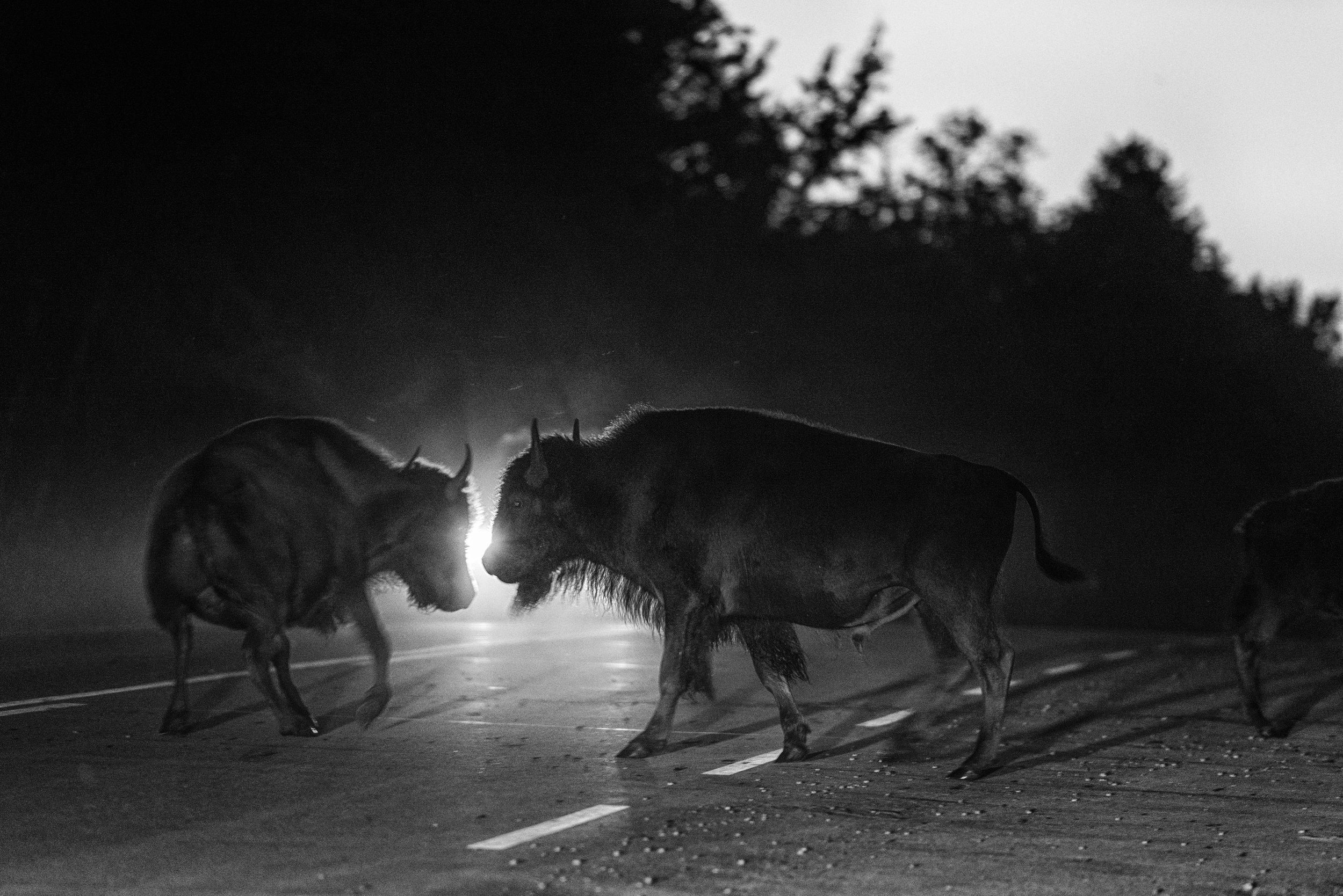 Bison in Headlights, Elk Island National Park, Canada