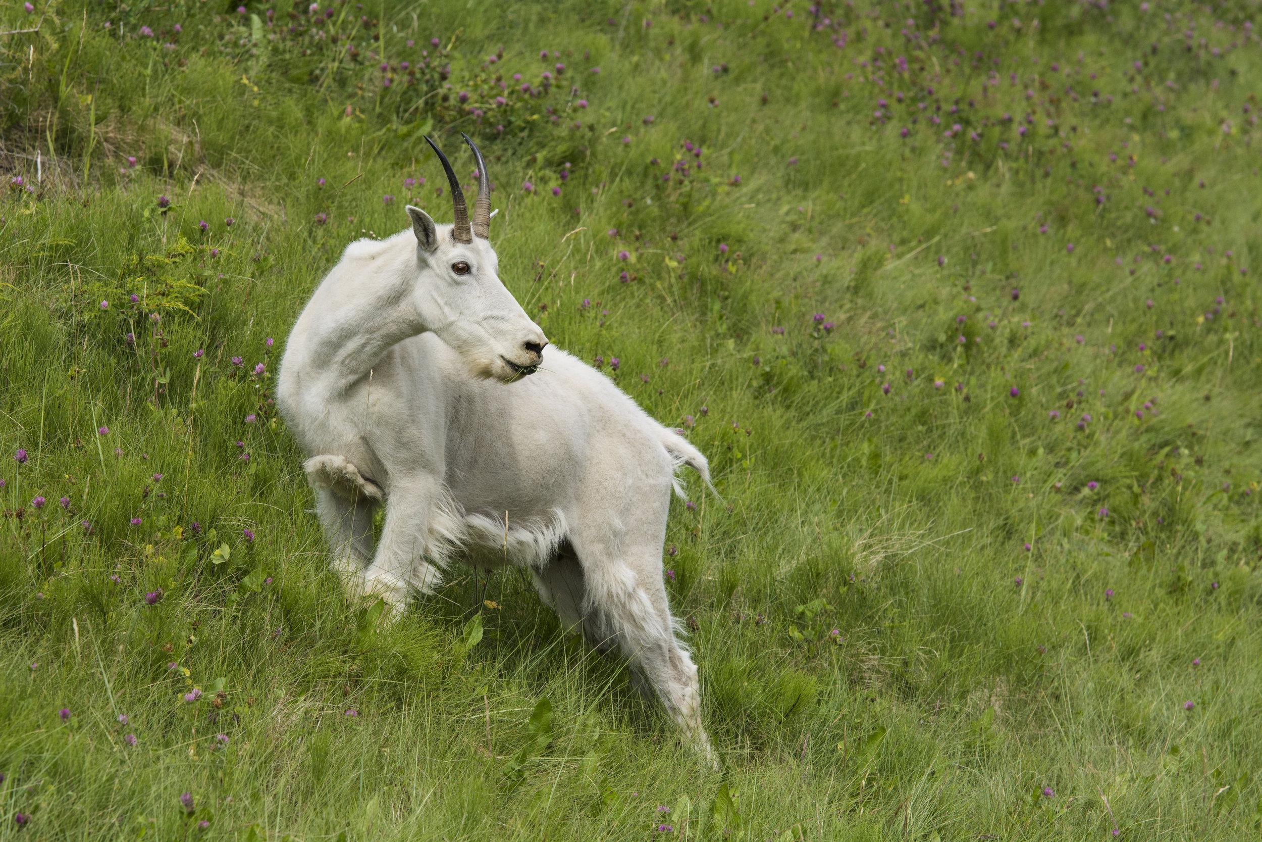 Mountain Goat in a hillside meadow, Jasper National Park, Alberta, Canada