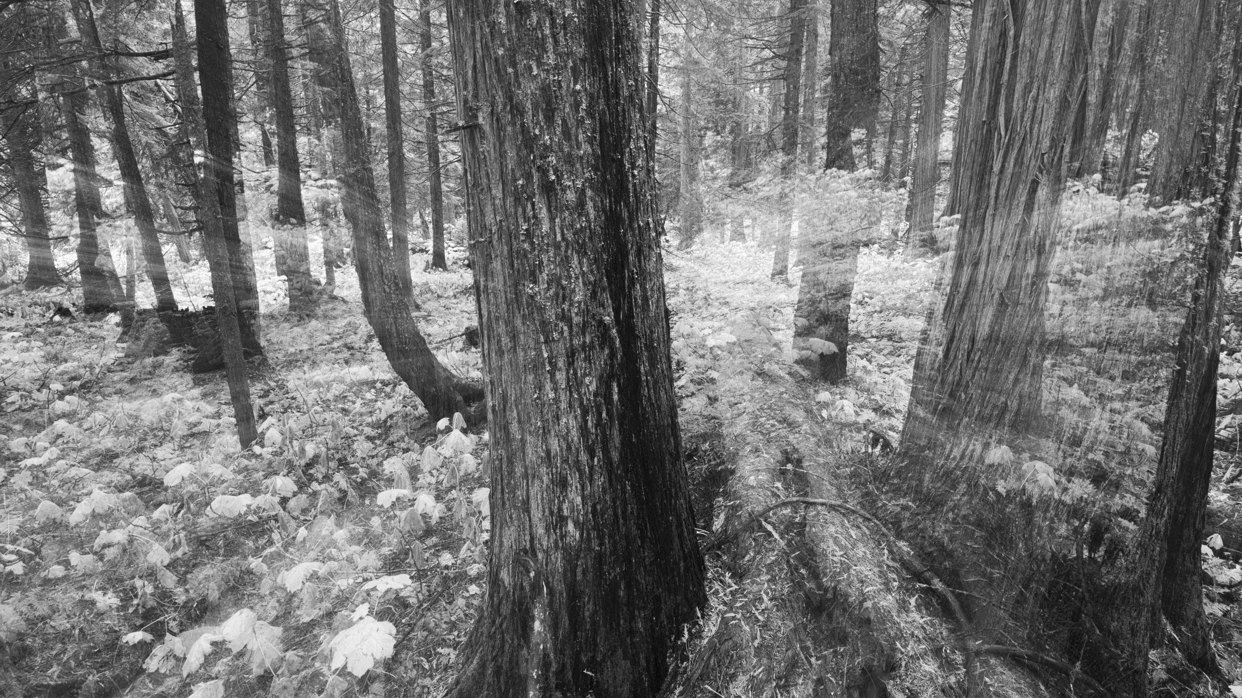 Hemlock Forest, Glacier National Park of Canada