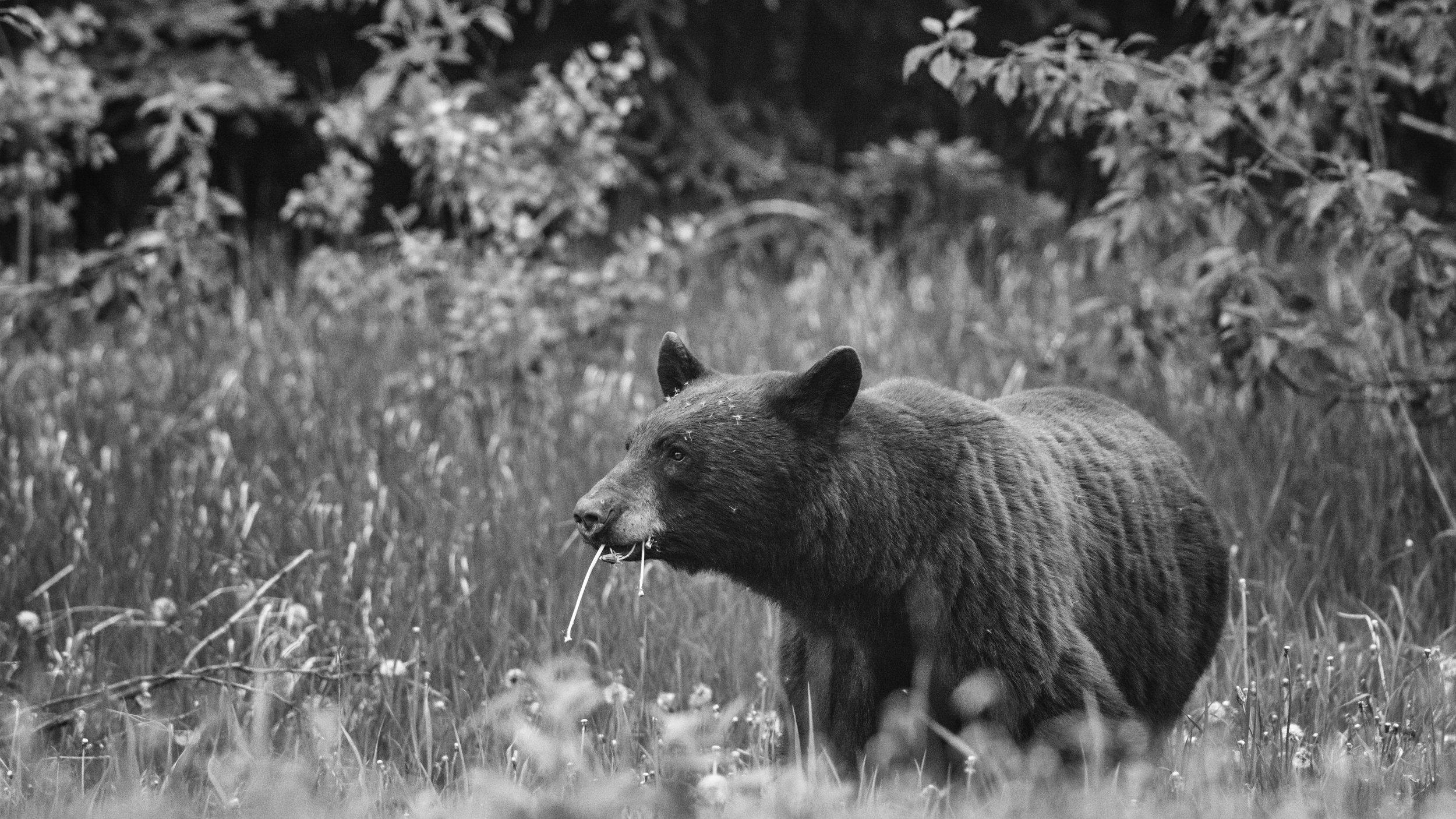 Black Bear Feeding on Dandelions, Jasper National Park