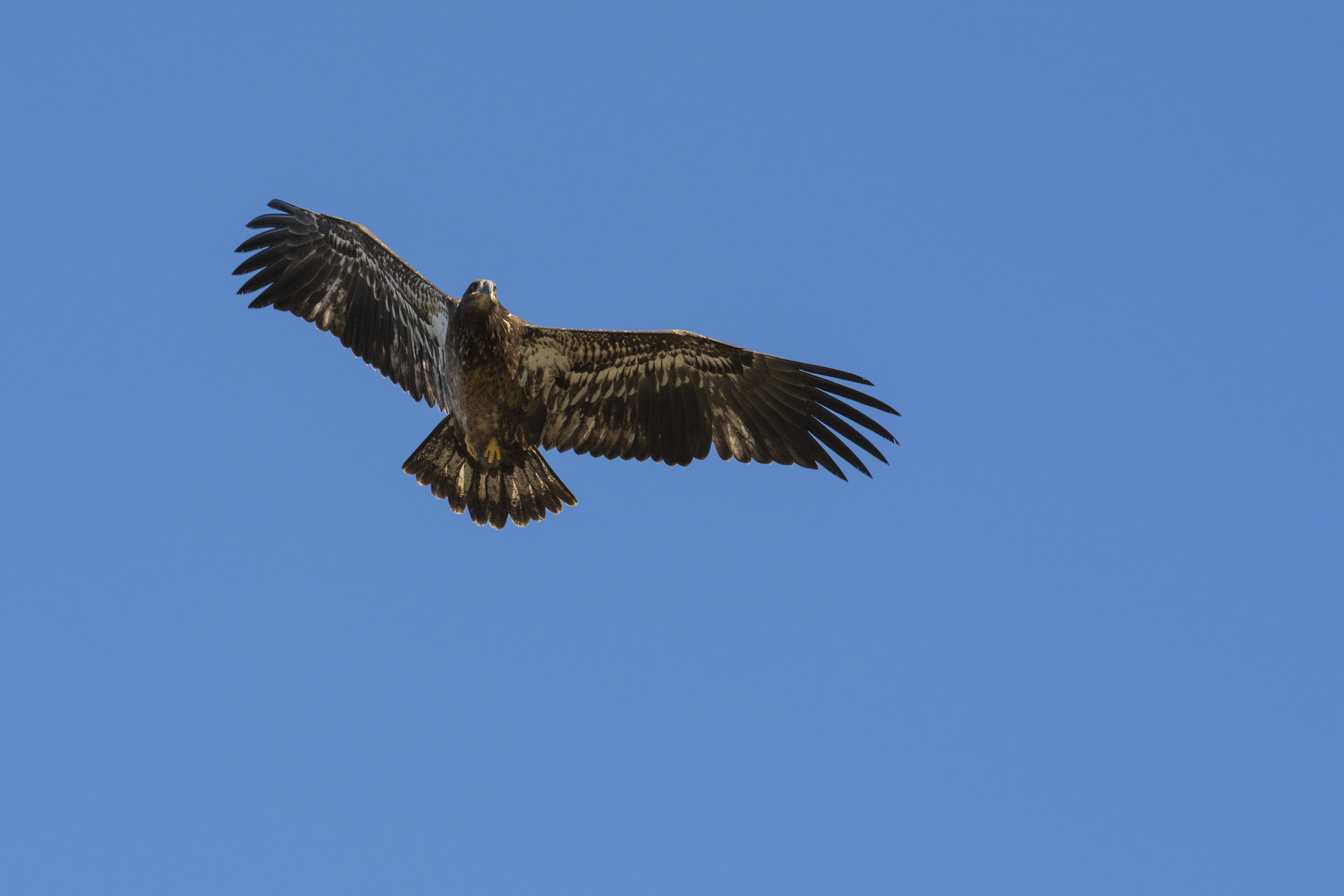 Eagle, Jasper National Park
