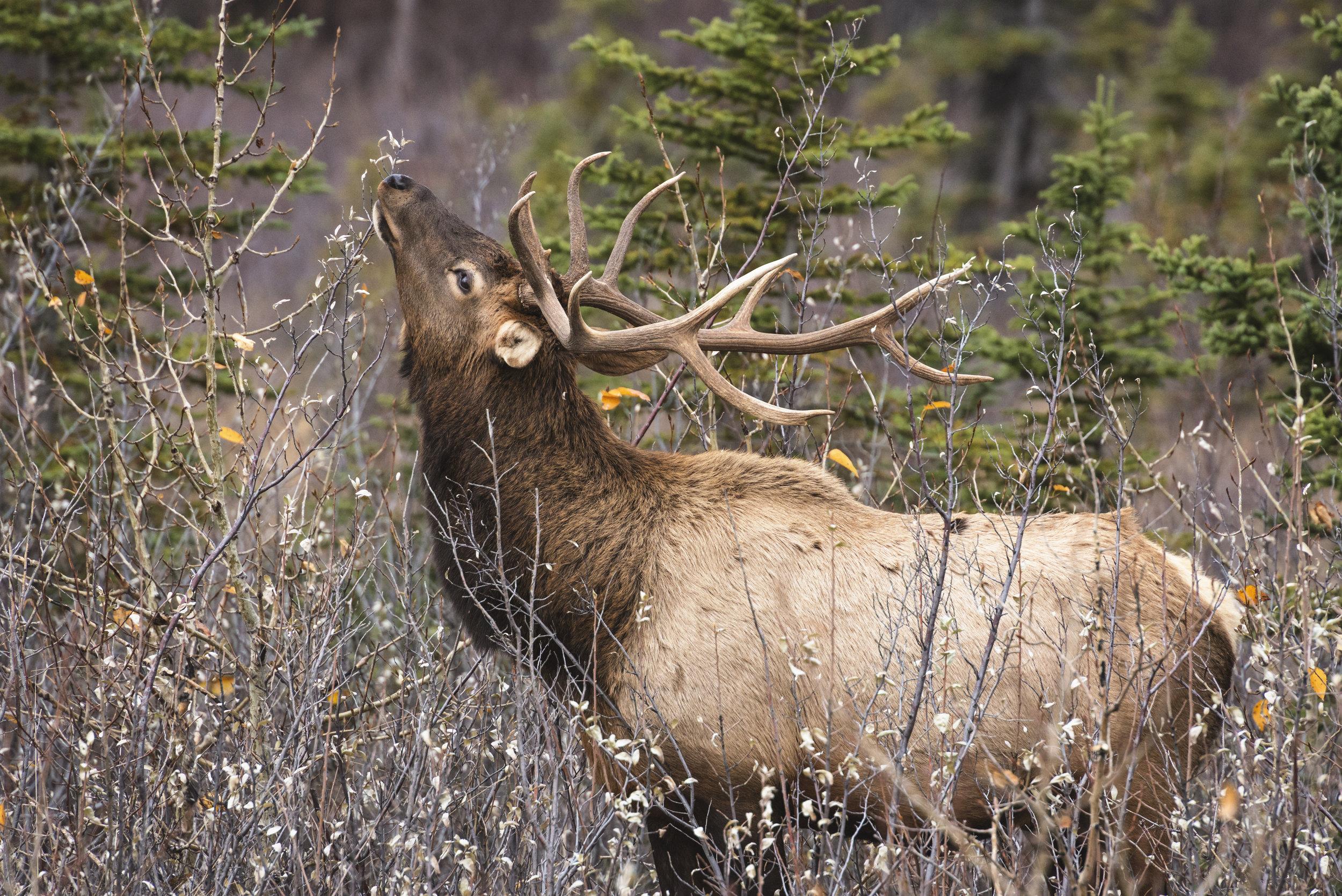 Bull Elk, Jasper National Park