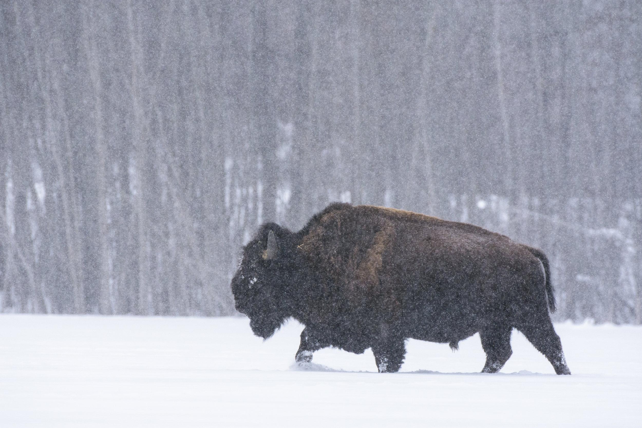 Bison in a blizzard, Elk Island National Park