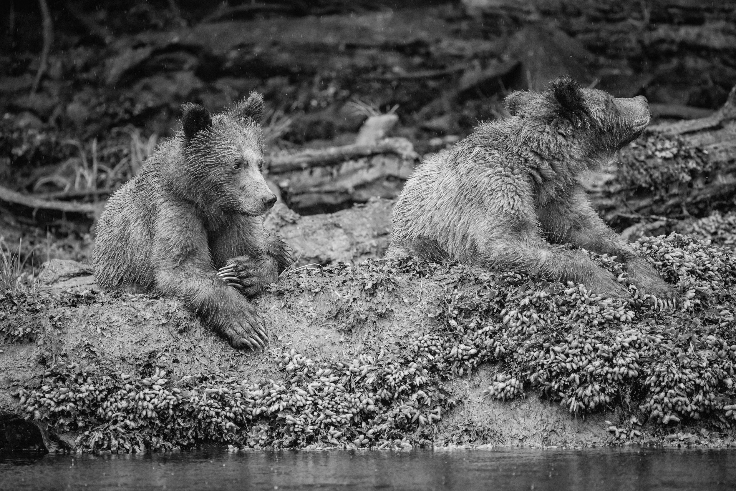 Grizzly cubs, Khutzeymateen Inlet, British Columbia