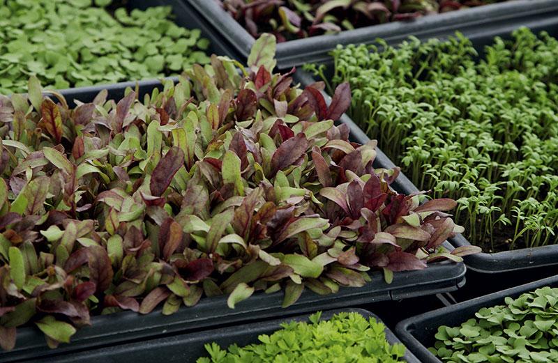 how-to-grow-microgreens.jpg