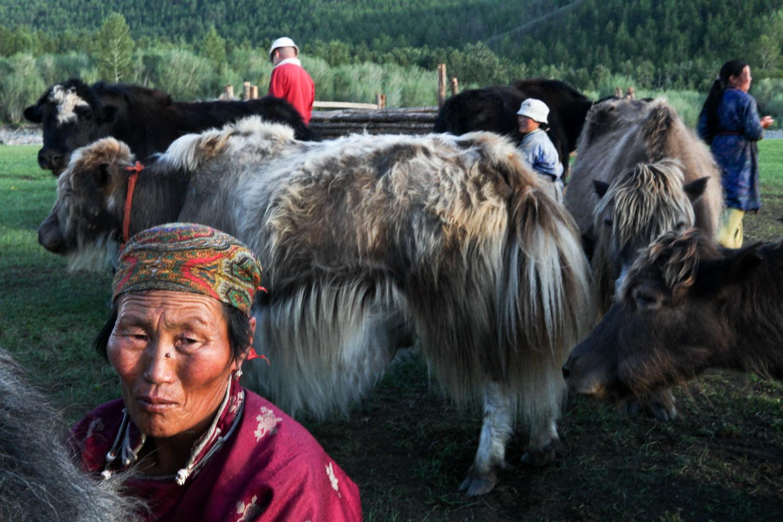 A nomadic Mongolian family milks their yaks.