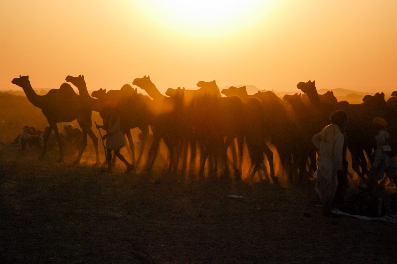 At sunset, several men lead a camel caravan through the sands at Pushkar's Camel Fair.