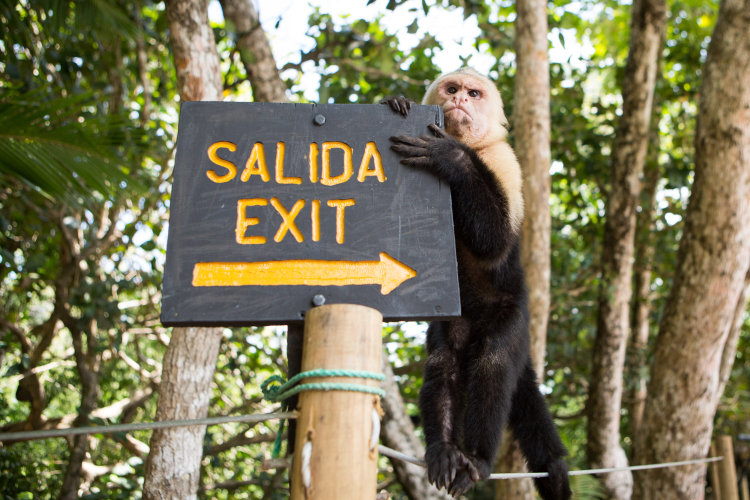 A white-faced capuchin monkey climbs on an exit sign in Costa Rica's Manuel Antonio National Park.