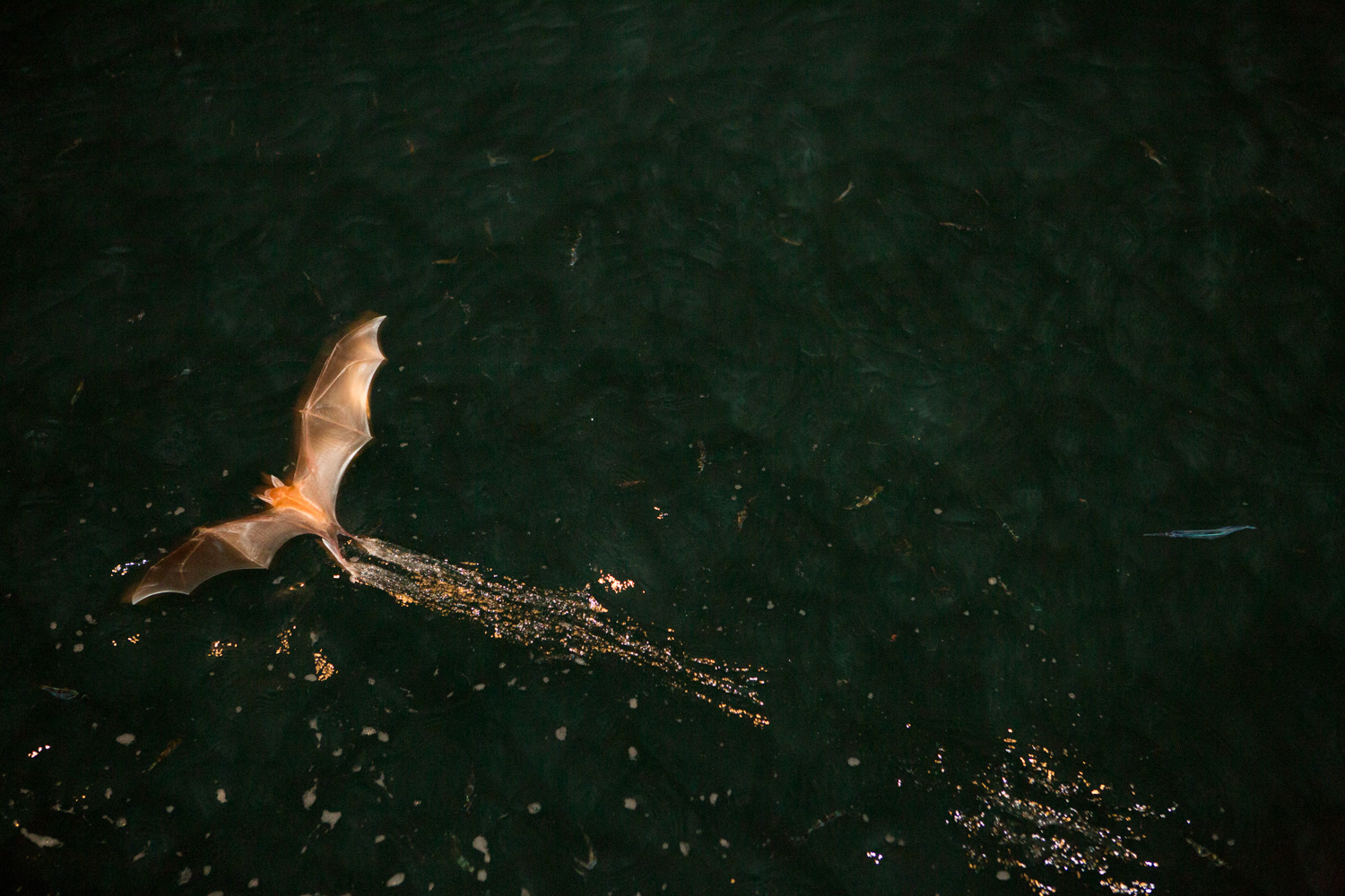 Attracted by a boat's light, bats fly close to the water and skim the surface in search of fish.