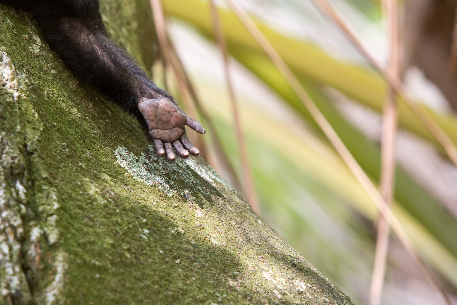 The hand of a white-faced capuchin monkey makes an imprint on a tree in Manuel Antonio National Park.