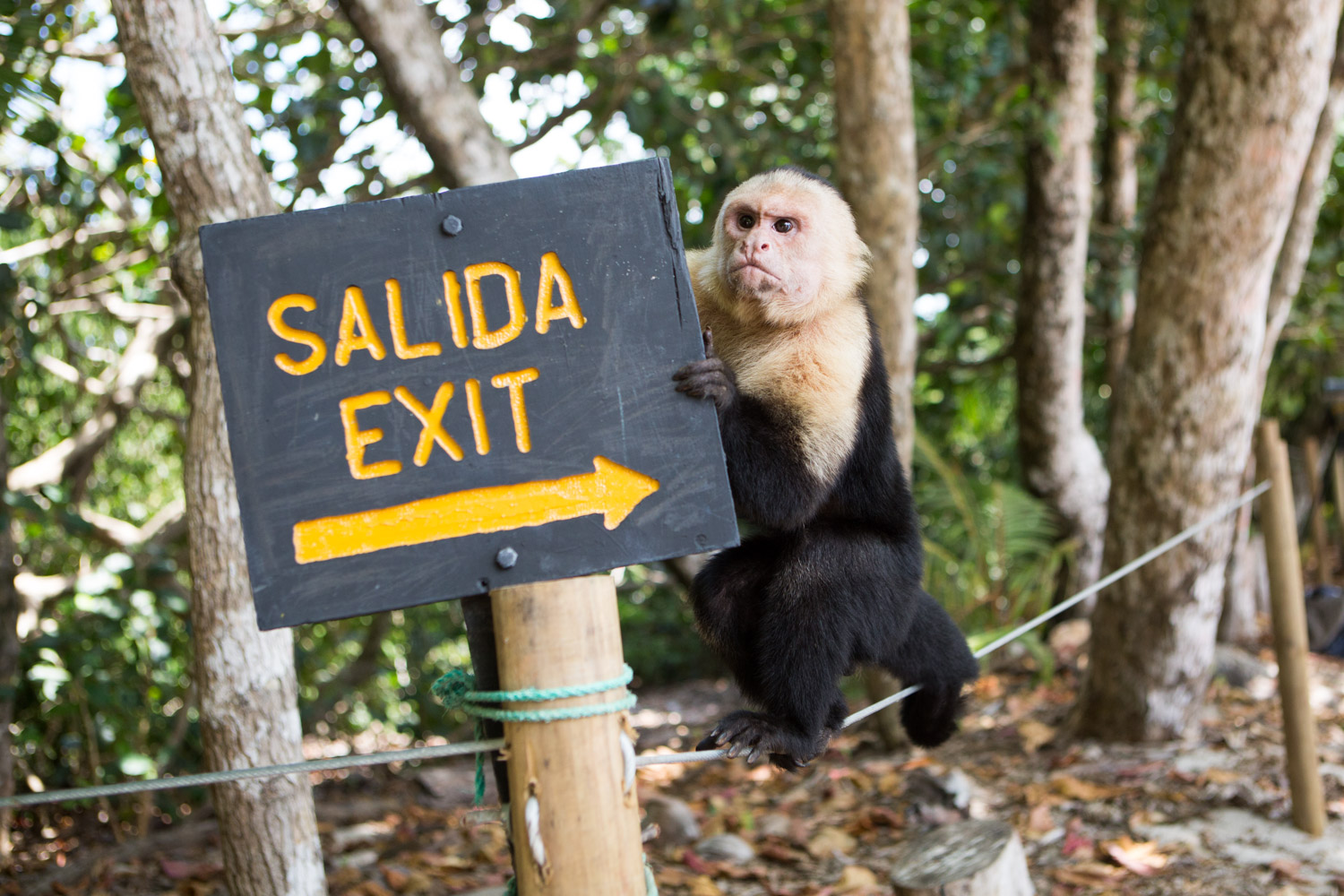 A white-faced capuchin monkey climbs on an exit sign in Manuel Antonio National Park.