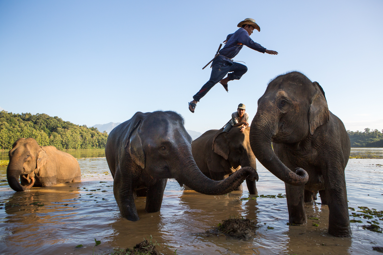 At the Elephant Conservation Center in Laos, a mahout (elephant trainer) jumps between two elephants.