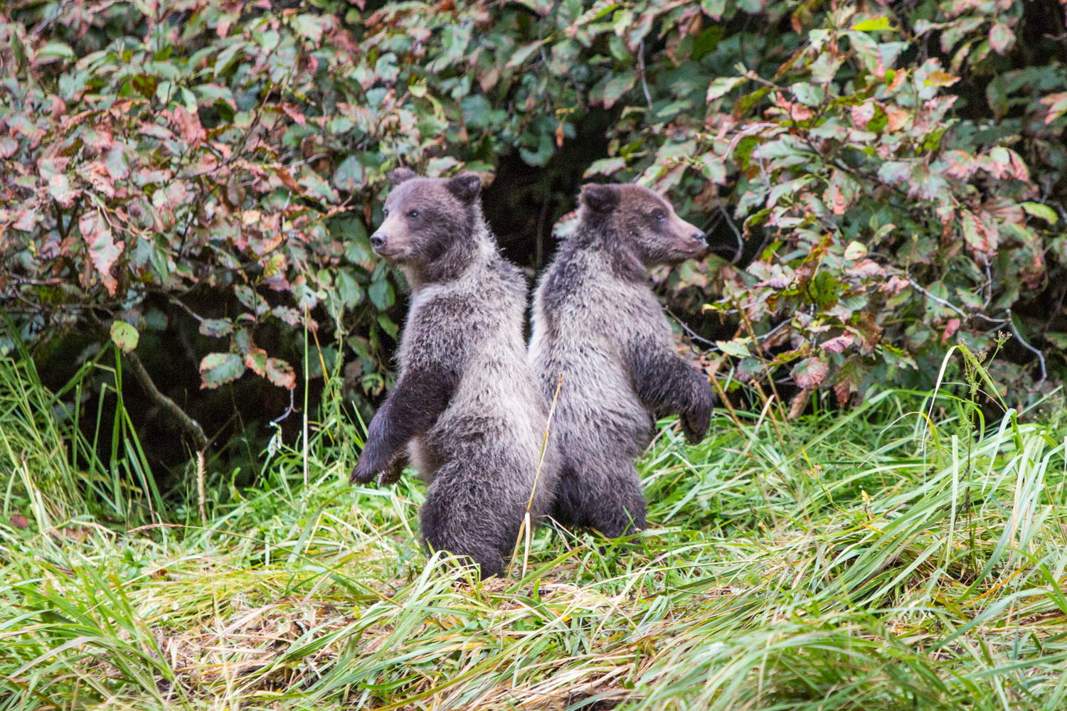 In Pavlof Harbor, Alaska, two brown bear cubs stand up and look for their mother.