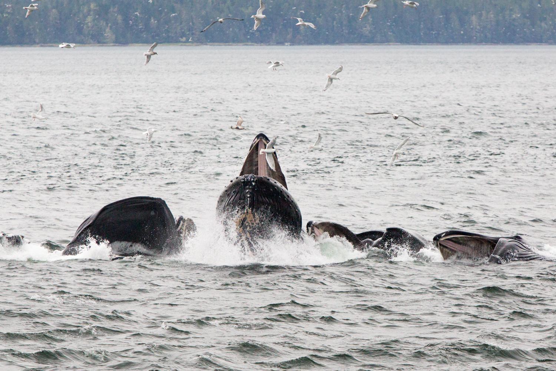 At Kashevarof Pass in Sumner Strait, Alaska, humpback whales display bubble net feeding.
