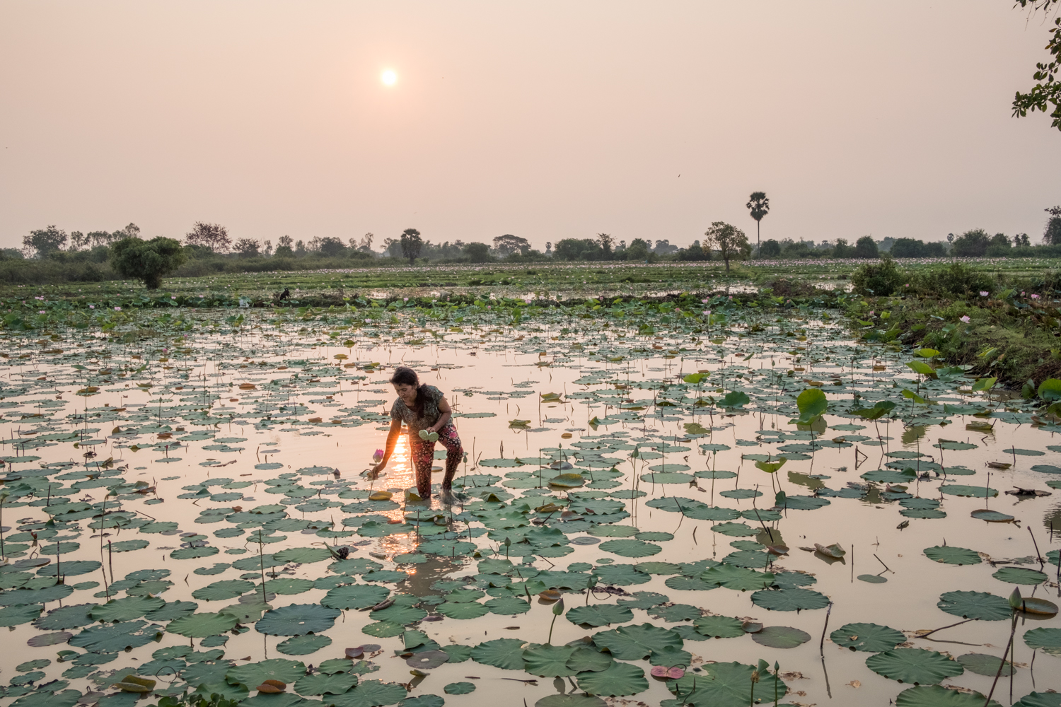 In Kampong Tralach, Cambodia, a small district along the Tonle Sap River, a woman wades through a field picking lotus flowers.