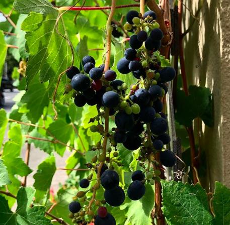 Syrah grapes from Walla Walla