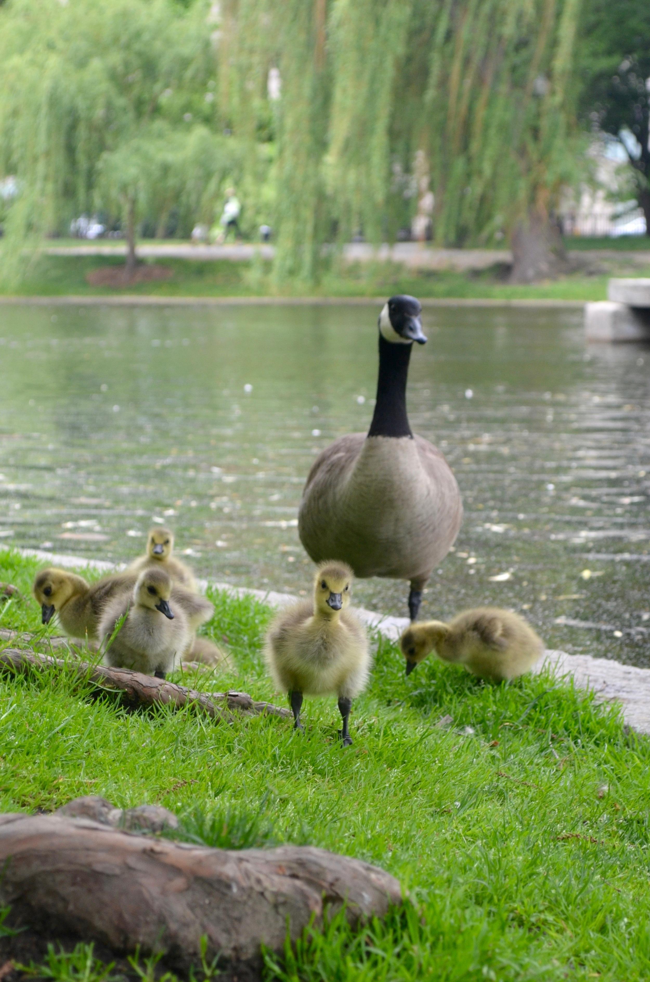 goslings2.jpg