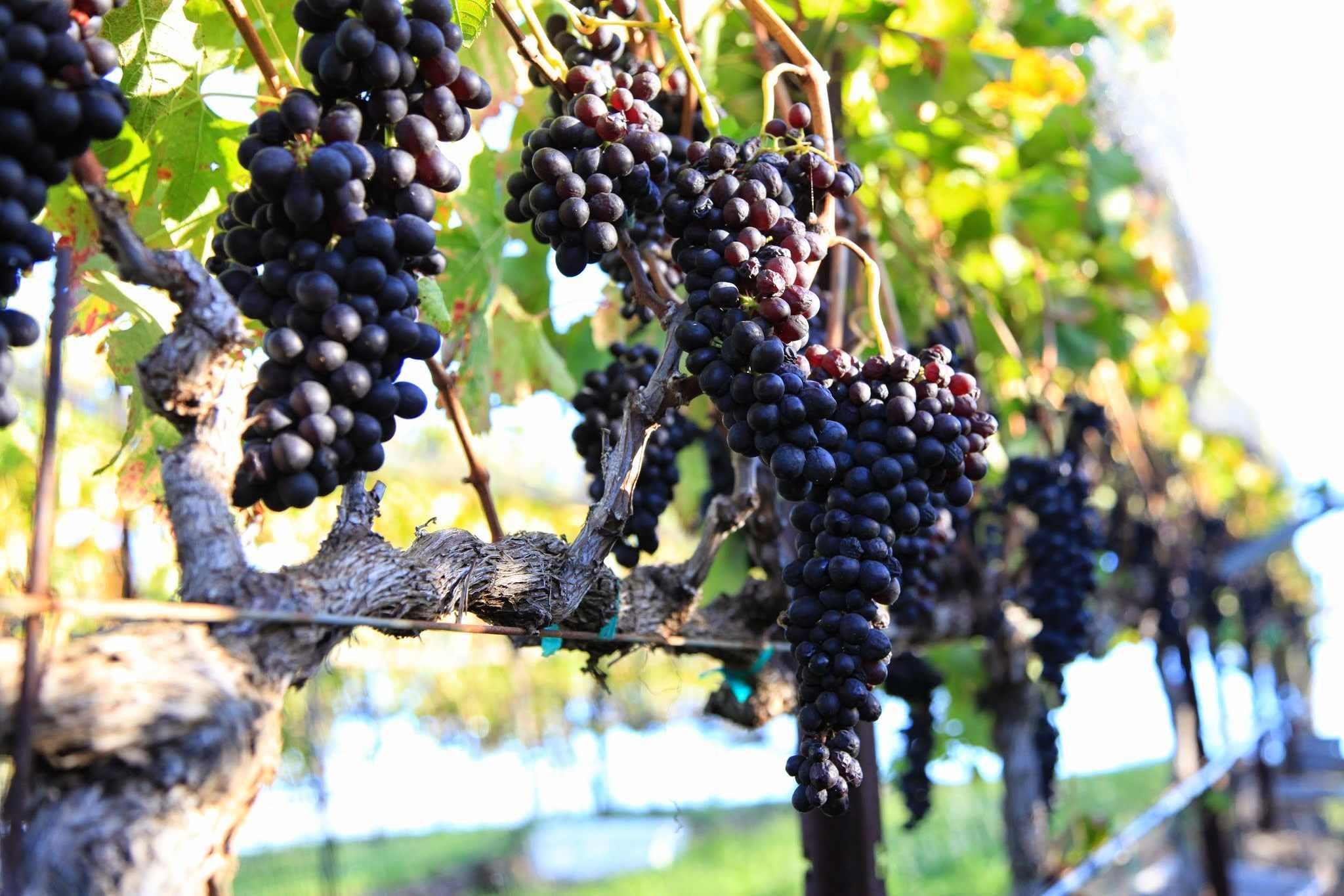 Maui-winery-4.jpg