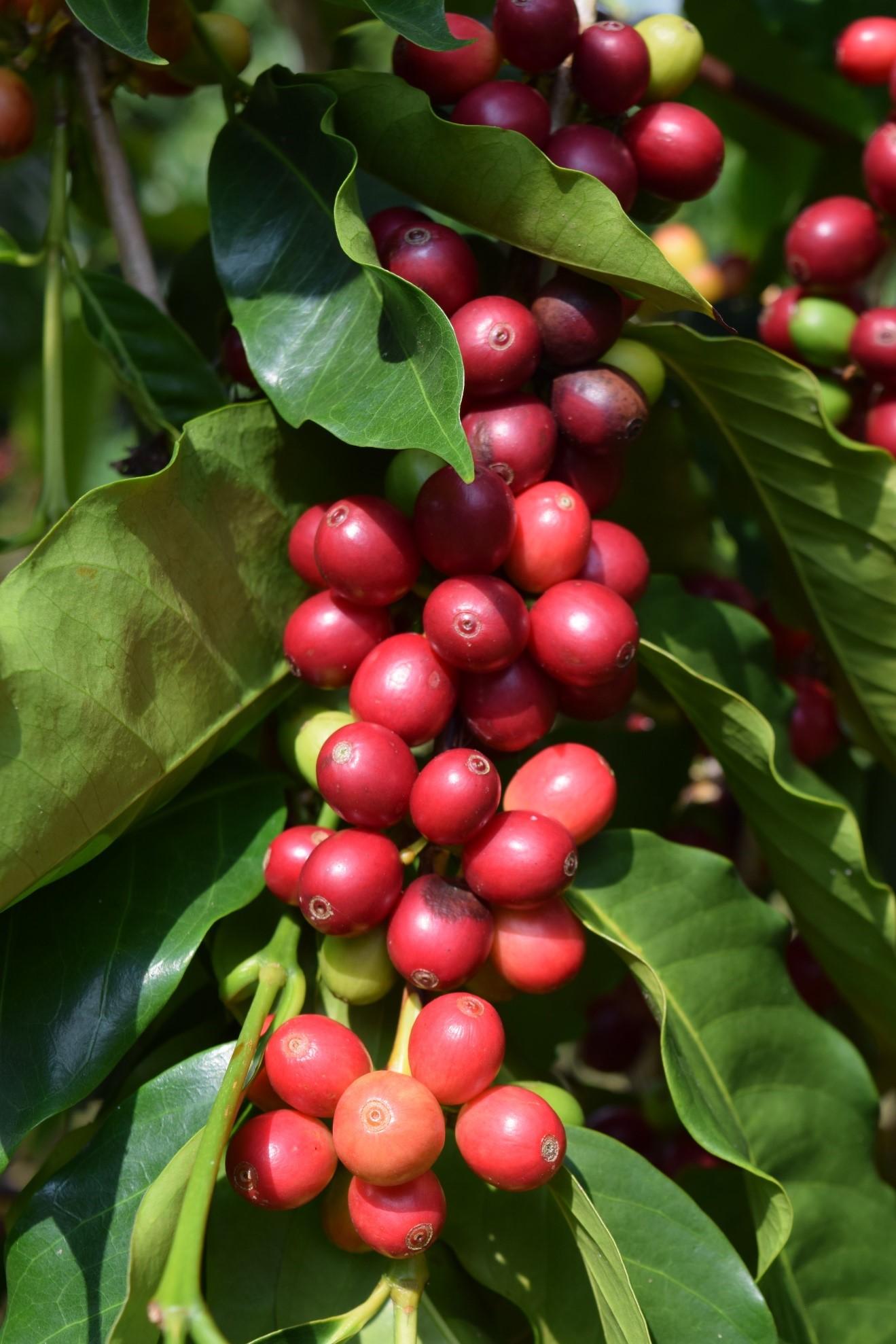 Kona Coffee Cherries.jpg