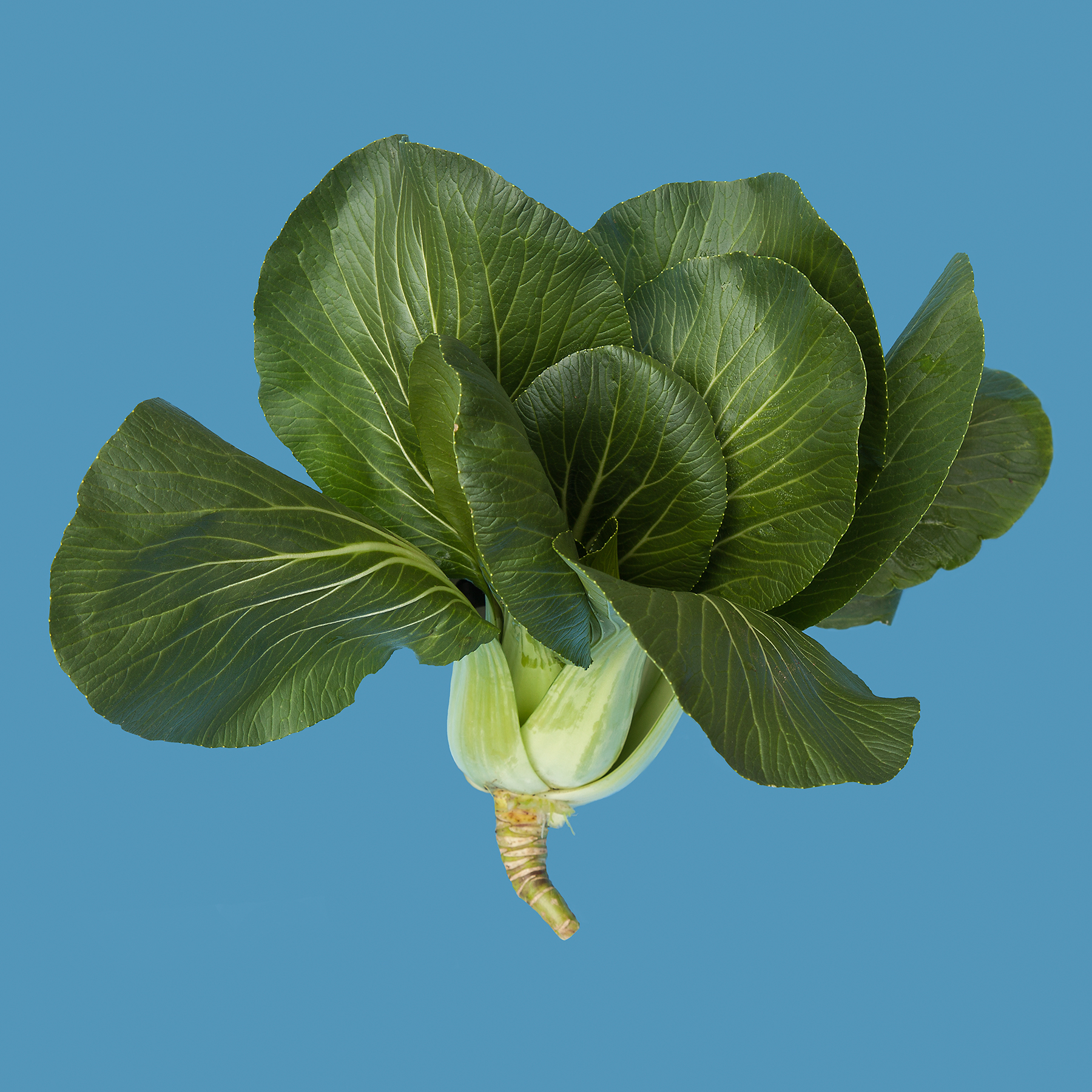 BOK-CHOY-ORGANIC-VEGETABLE-RIDGEWAY-FARM-CT-©-JONATHAN-R.-BECKERMAN-PHOTOGRAPHY-08260.jpg