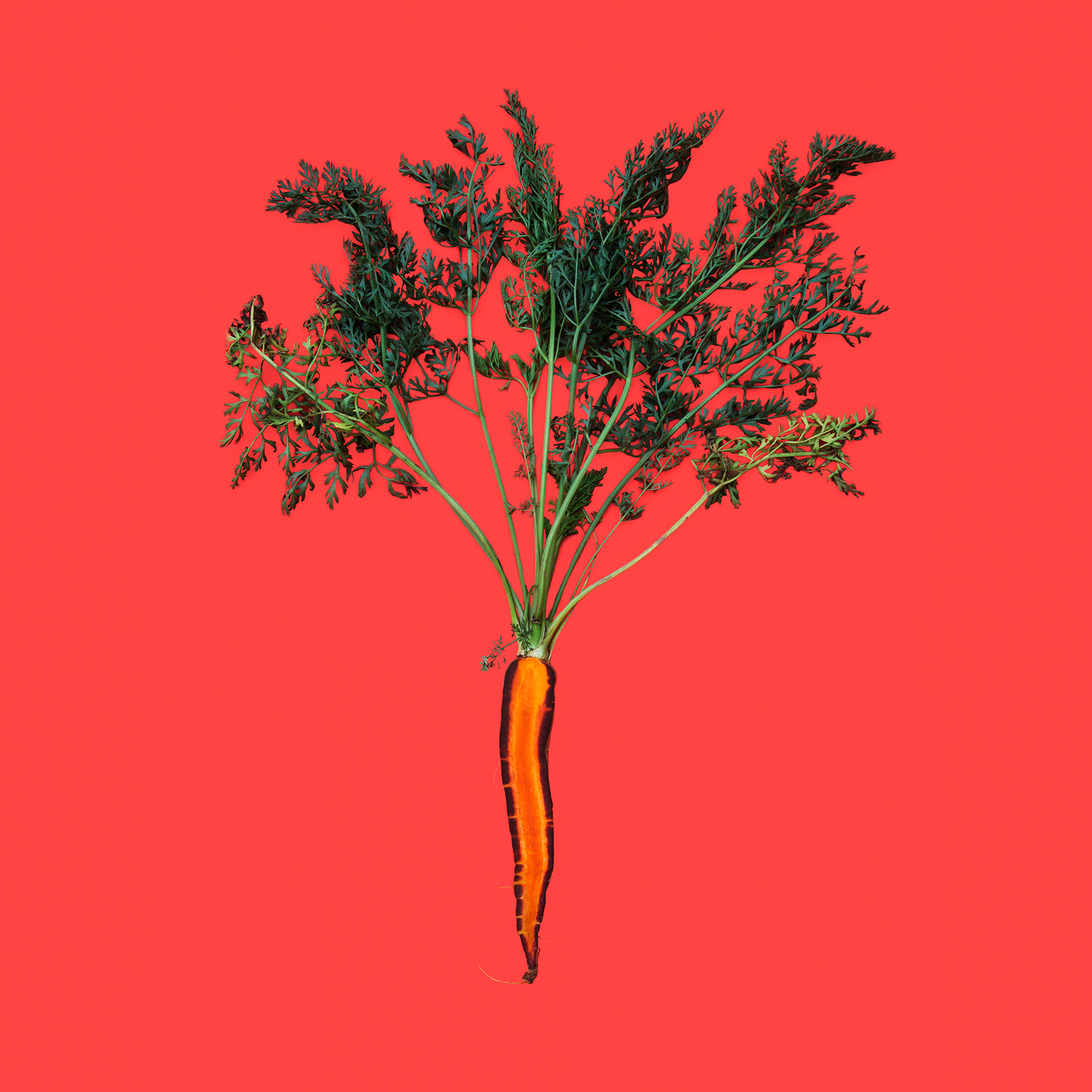 CARROT-PURPLE-DRAGON-ORGANC-RIDGWAY-FARM-ORGANIC-VEGETABLE-©-JONATHAN-R.-BECKERMAN-PHOTOGRAPHY-01.jpg