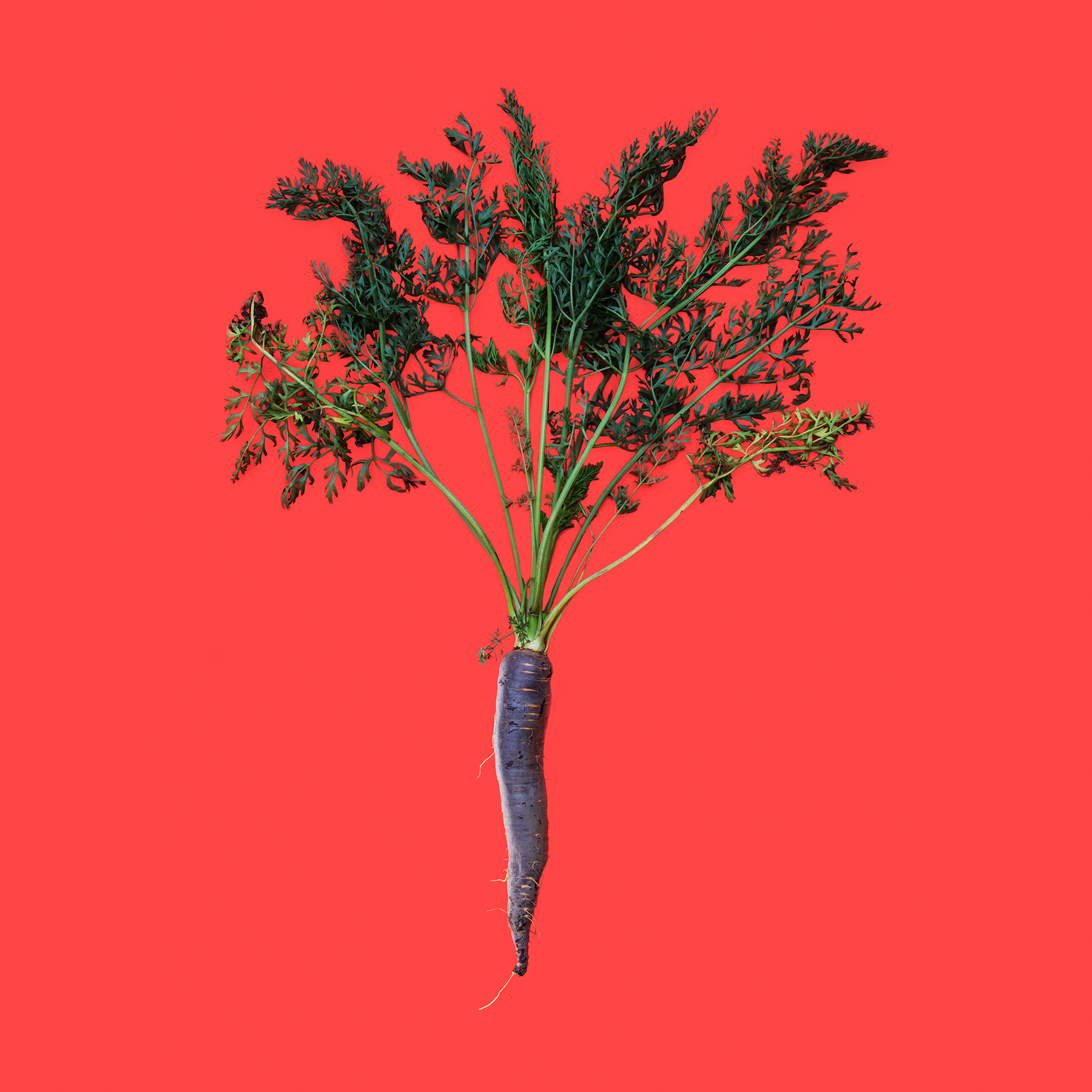 CARROT-PURPLE-DRAGON-ORGANC-RIDGWAY-FARM-ORGANIC-VEGETABLE-©-JONATHAN-R.-BECKERMAN-PHOTOGRAPHY-02.jpg
