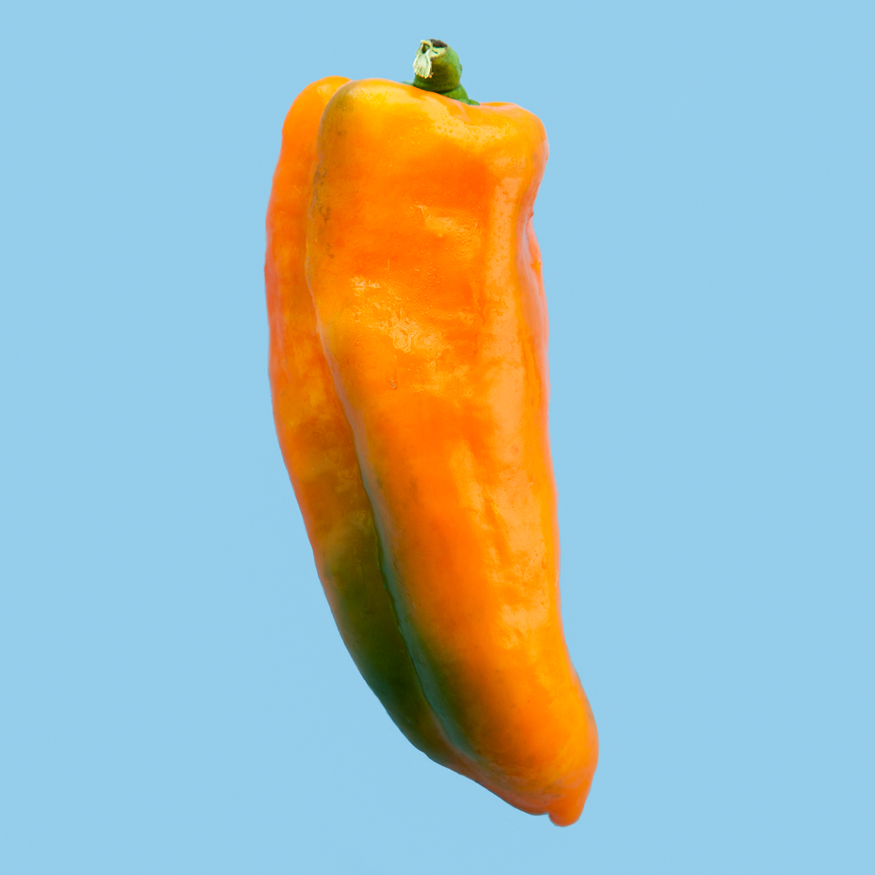 PEPPER--GATHERERS-GOLD-ORGANIC-VEGETABLE-FOOD-ORANGE_HICKORIES-FARM-©-JONATHAN-R.-BECKERMAN-PHOTOGRAPHY-083016_COLOR.jpg