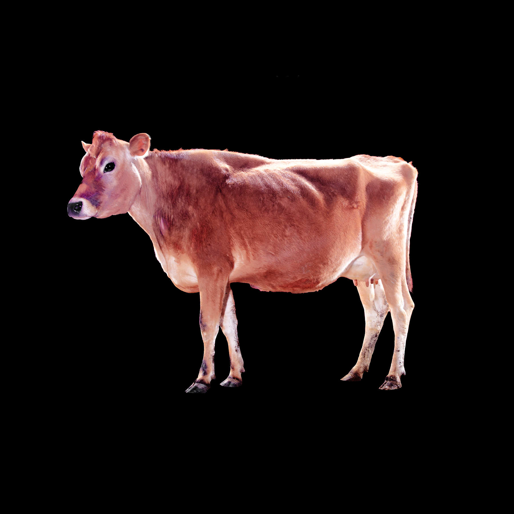COW-JERSEY-GOLDEN-STONEWALL-DAIRY-FARM-©-JONATHAN-R.-BECKERMAN-PHOTOGRAPHY.jpg