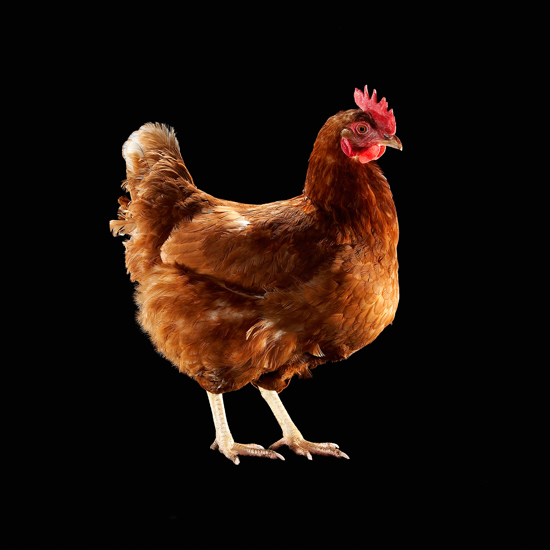 HEN-RHODE-ISLAND-RED-CHICKEN-ORGANIC-LIVESTOCK-©-JONATHAN-R.-BECKERMAN PHOTOGRAPHY.jpg