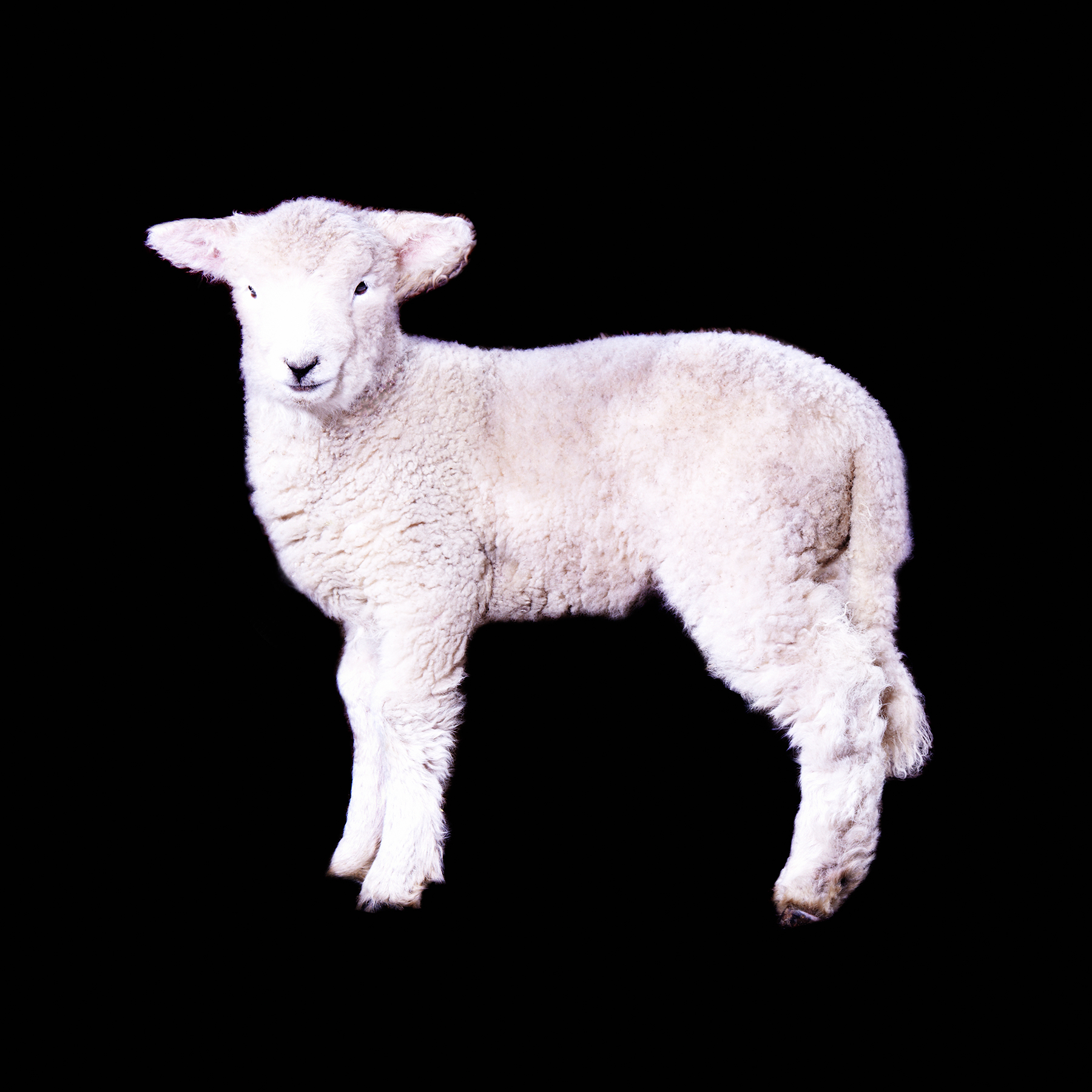 SHEEP-BABY-STONEWALL-DAIRY-FARM-LIVESTOCK-©-JONATHAN-R.-BECKERMAN-PHOTOGRAPHY-040815.jpg