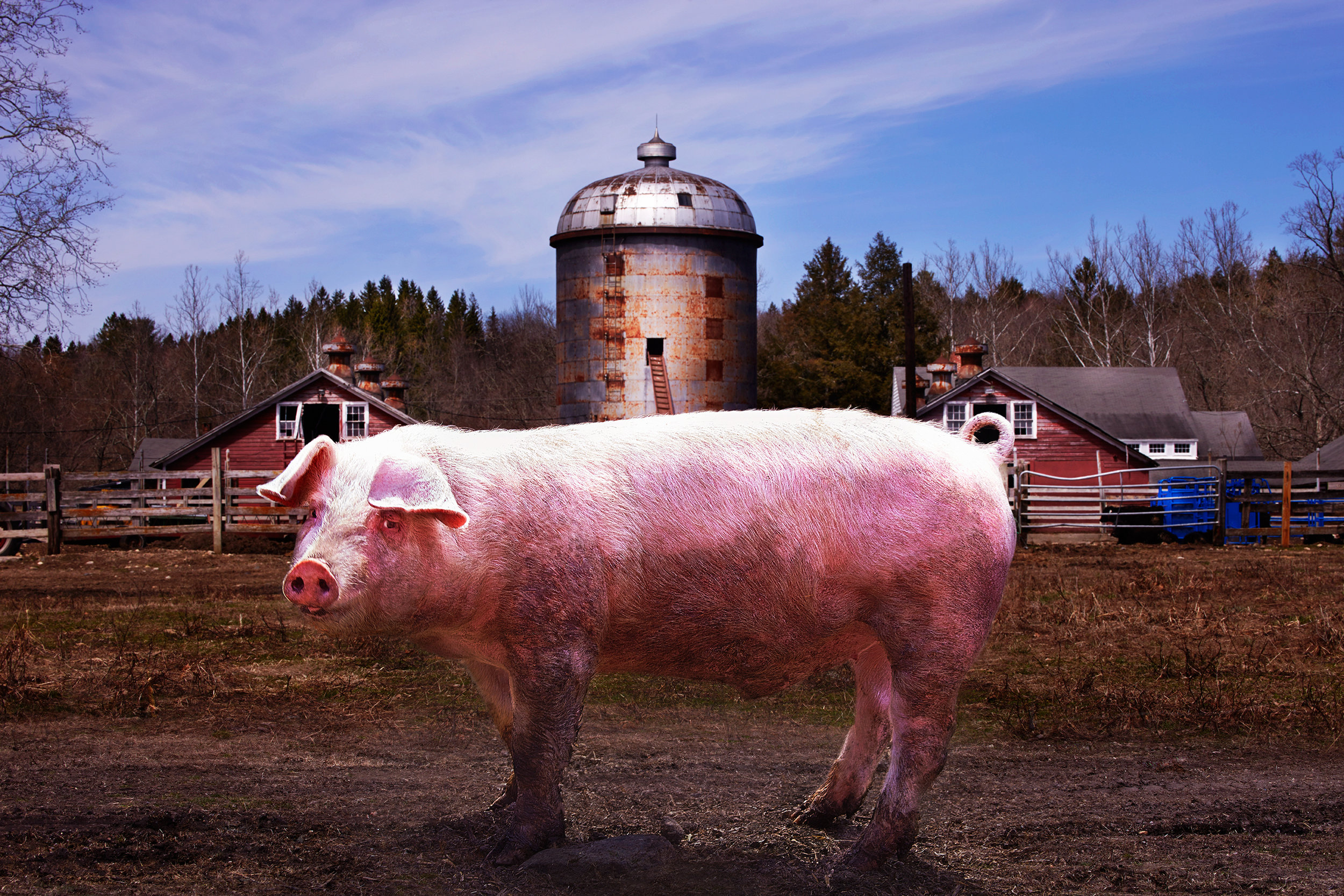 PIG-OX-HOLLOW-FARM-©-JONATHAN-R.-BECKERMAN-PHOTOGRAPHY-041615.jpg