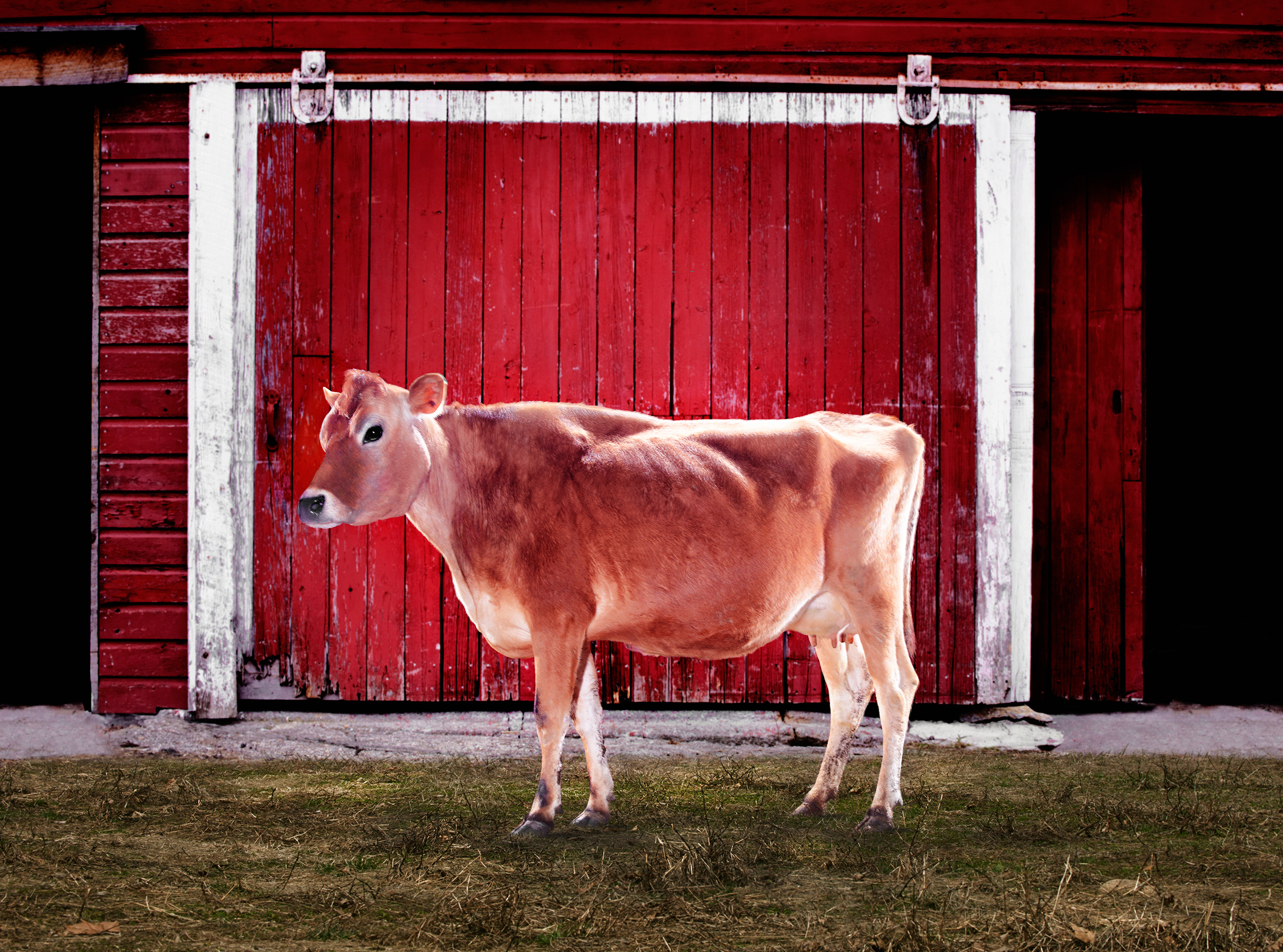 COW-JERSEY-COW-STONEWALL-DAIRY-RED-BARN-©-JONATHAN-R.-BECKERMAN-PHOTOGRAPHY-040815.jpg